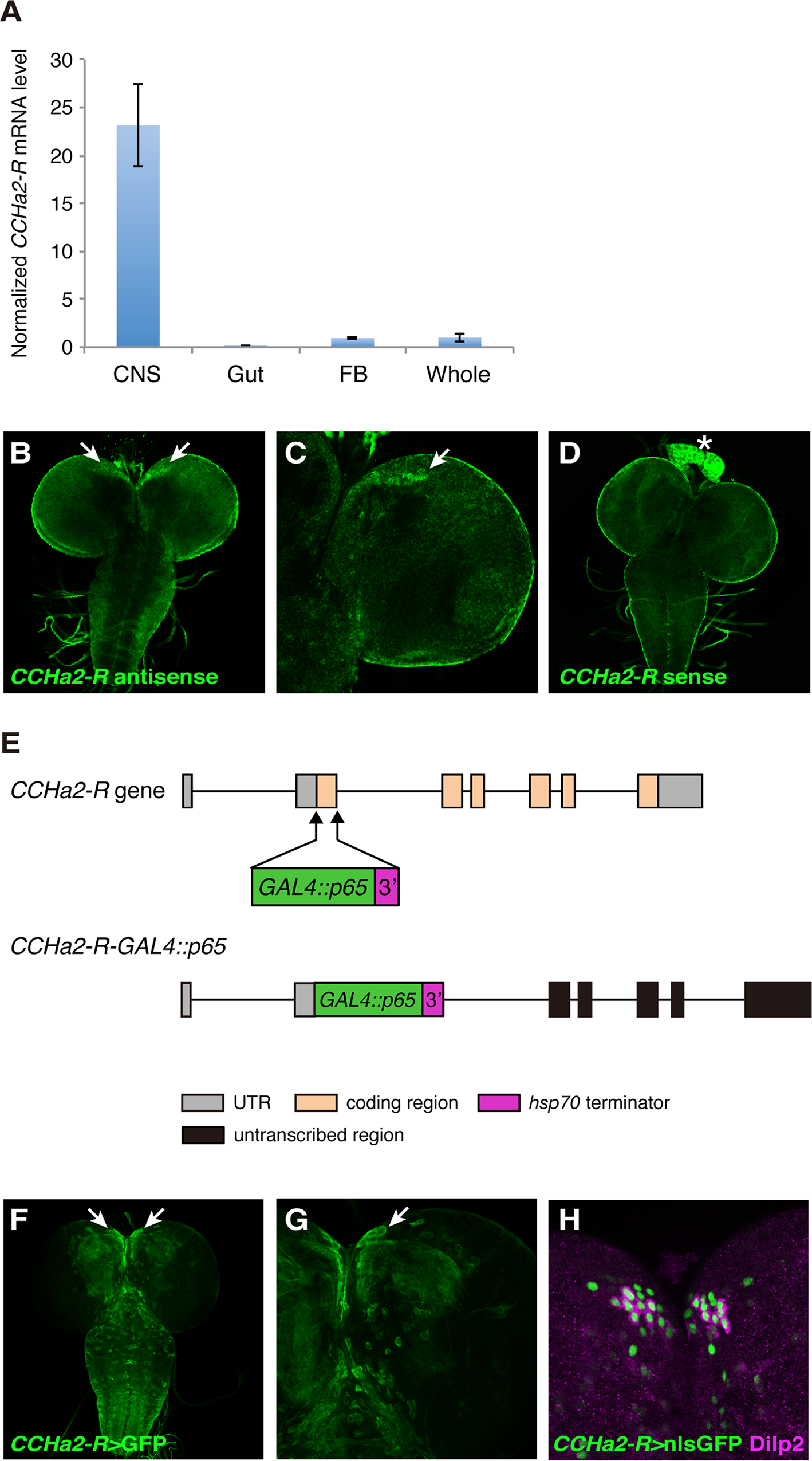 The CCHa2 receptor is expressed in the brain including the IPCs.
