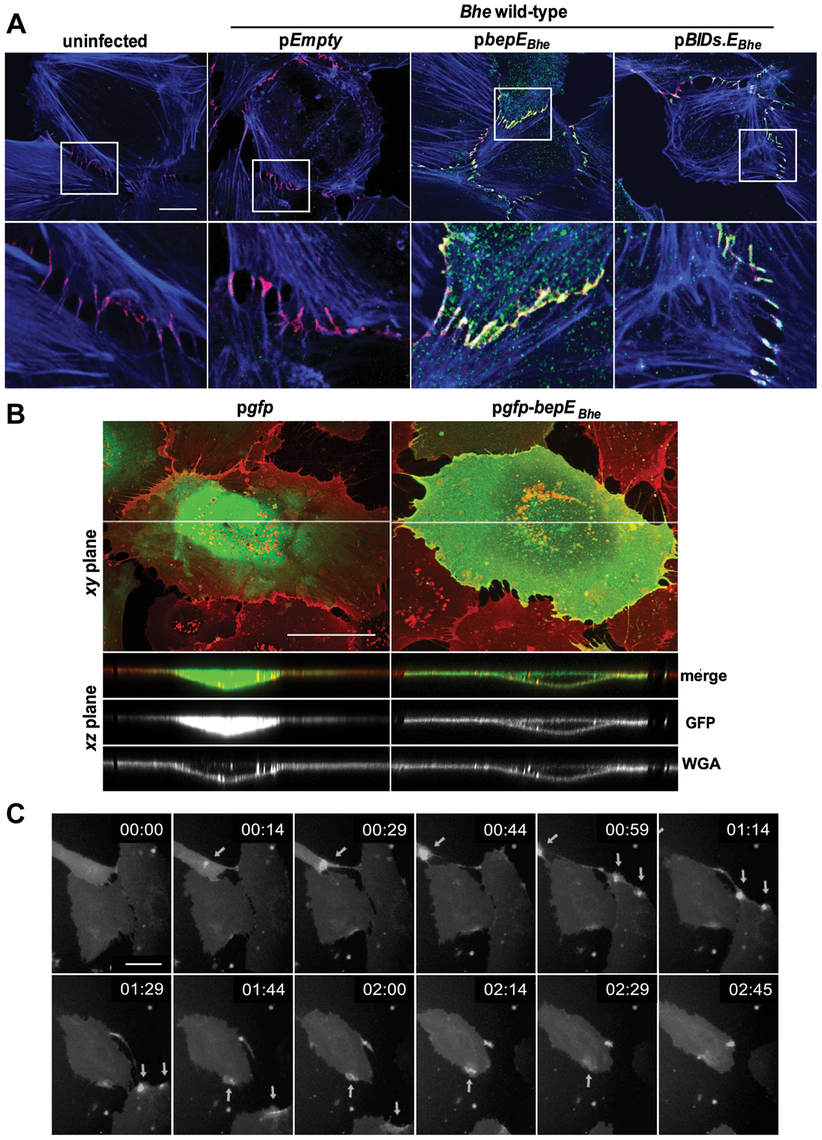 BepE<i><sub>Bhe</sub></i> localizes to cell-to-cell contacts and is recruited to the plasma membrane of HUVECs following translocation via the T4SS or by ectopic expression.