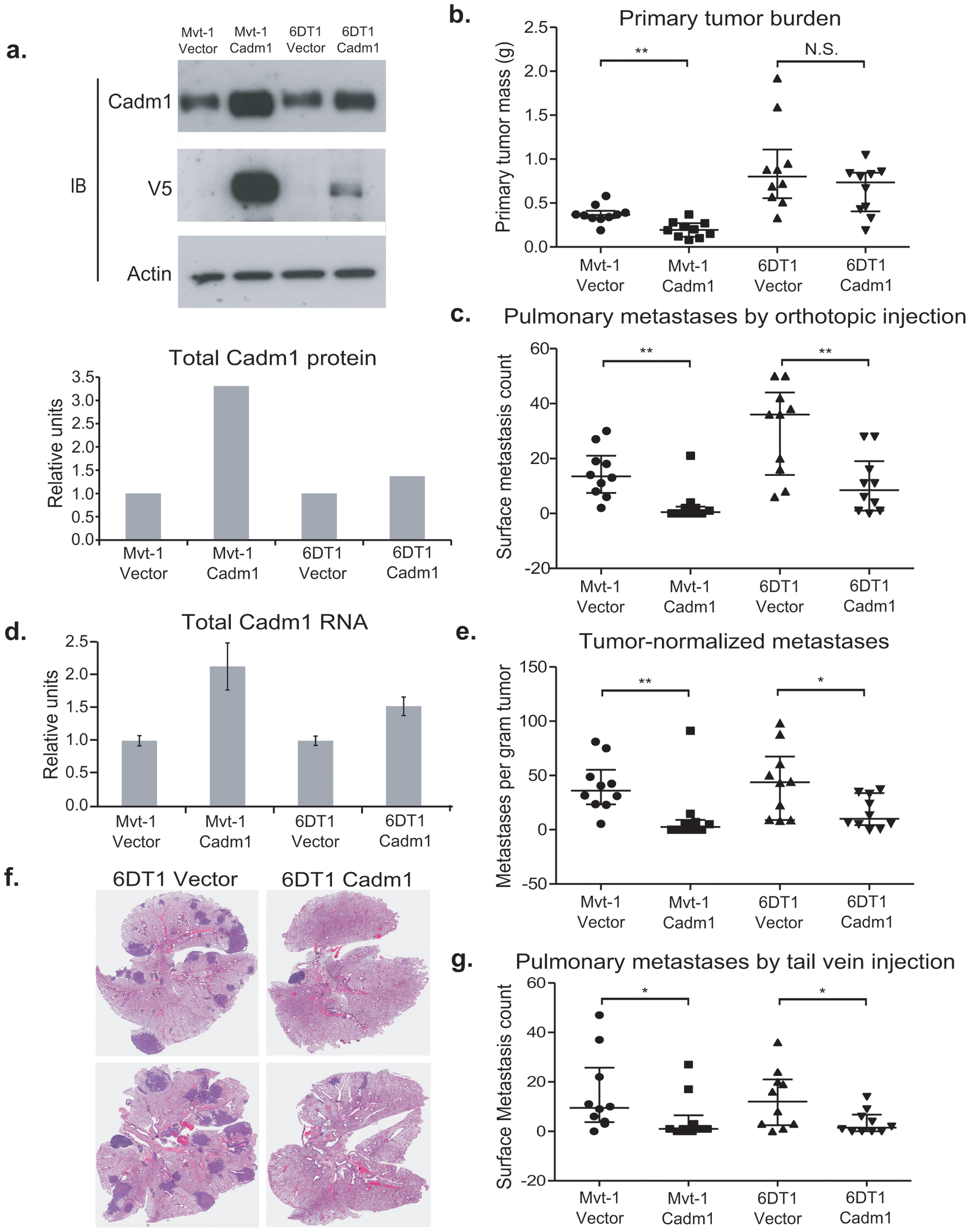 The effect of <i>Cadm1</i> over-expression on tumor growth and metastasis <i>in vivo</i>.