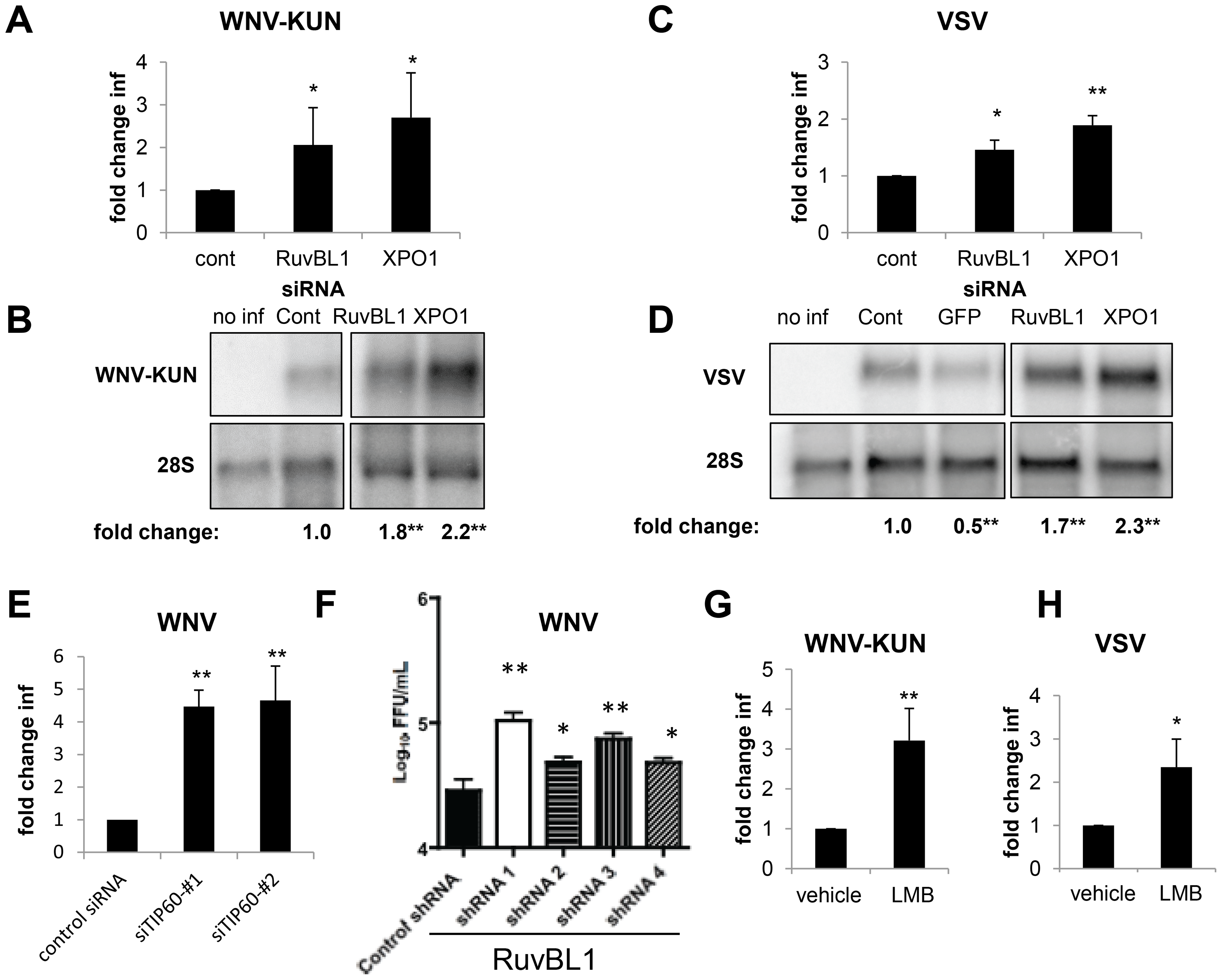 RUVBL1 and XPO1 restrict viral infection in mammalian cells.