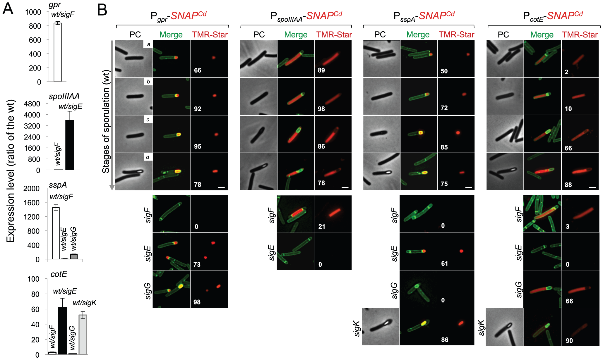 Dependencies for the activation of the cell type-specific sporulation sigma factors.