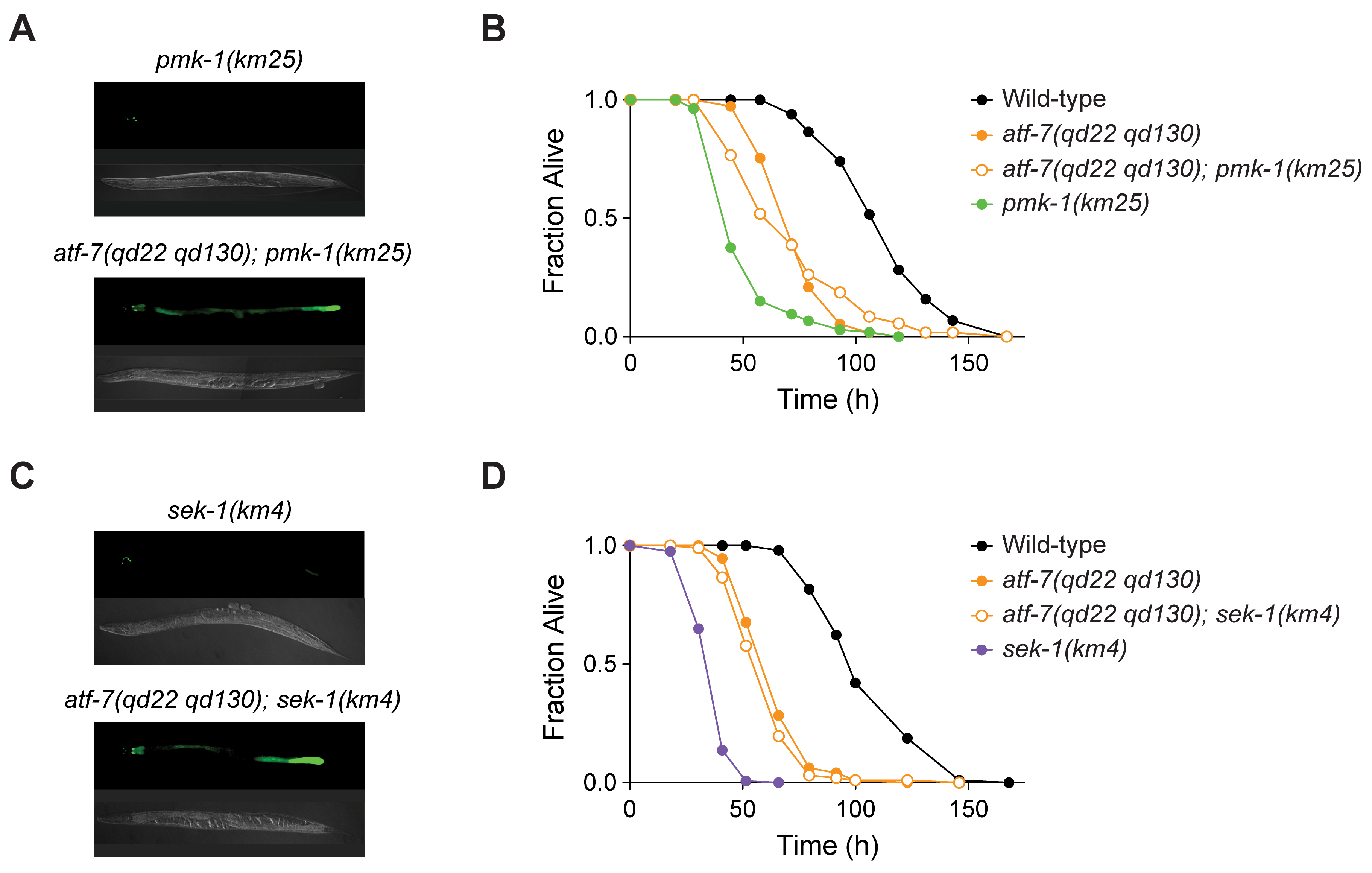 The loss-of-function <i>atf-7(qd22 qd130)</i> mutation suppresses the immunodeficient phenotype caused by deficient signaling in the PMK-1 pathway.