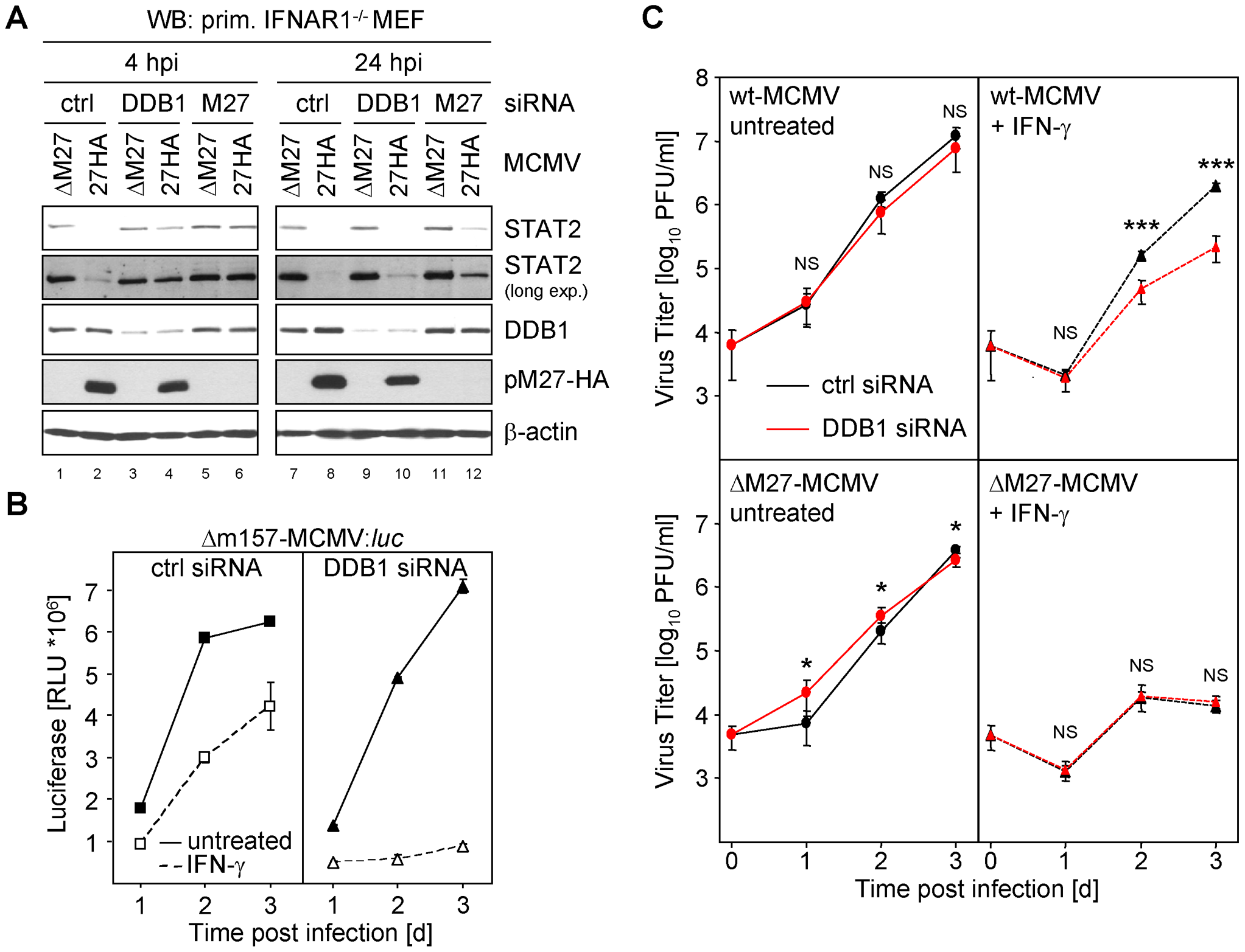 siRNA mediated knock-down of DDB1 restores STAT2 amount and phenocopies <i>M27</i>-deficiency.