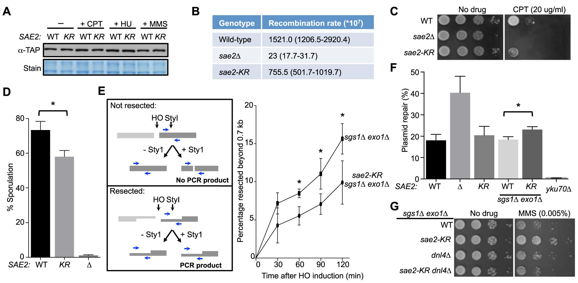 Lack of Sae2 sumoylation impairs Sae2 function.