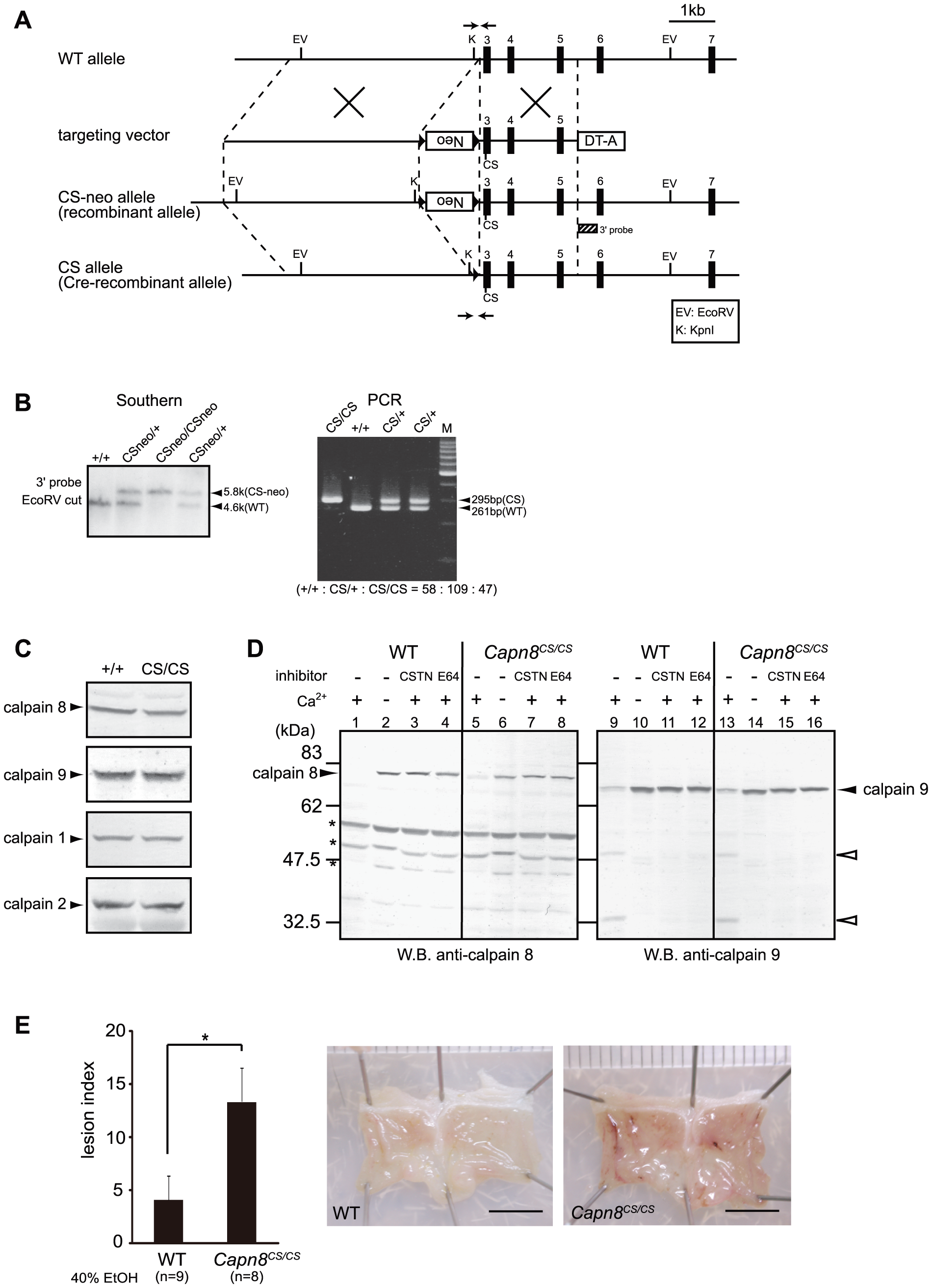 <i>Capn8<sup>CS/CS</sup></i> mice are susceptible to ethanol-induced mucosal lesions.
