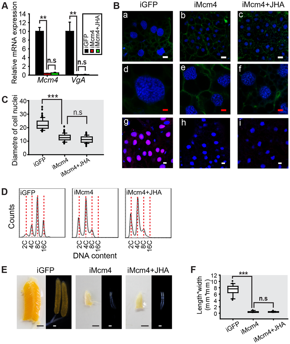 Effect of <i>Mcm4</i> RNAi on DNA replication, ployploidy and vitellogenesis.