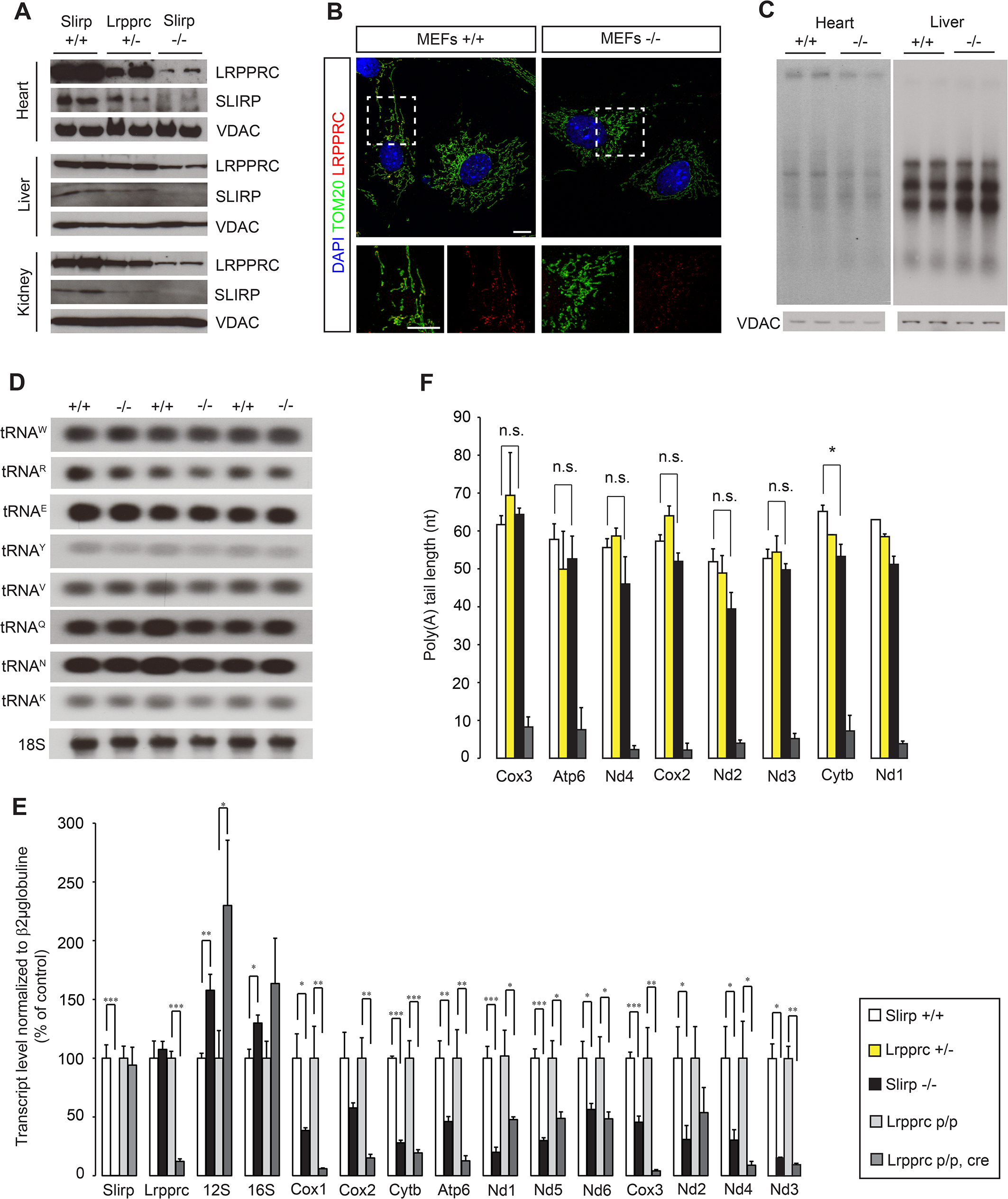Loss of SLIRP compromises the stability of mitochondrial mRNAs and LRPPRC.