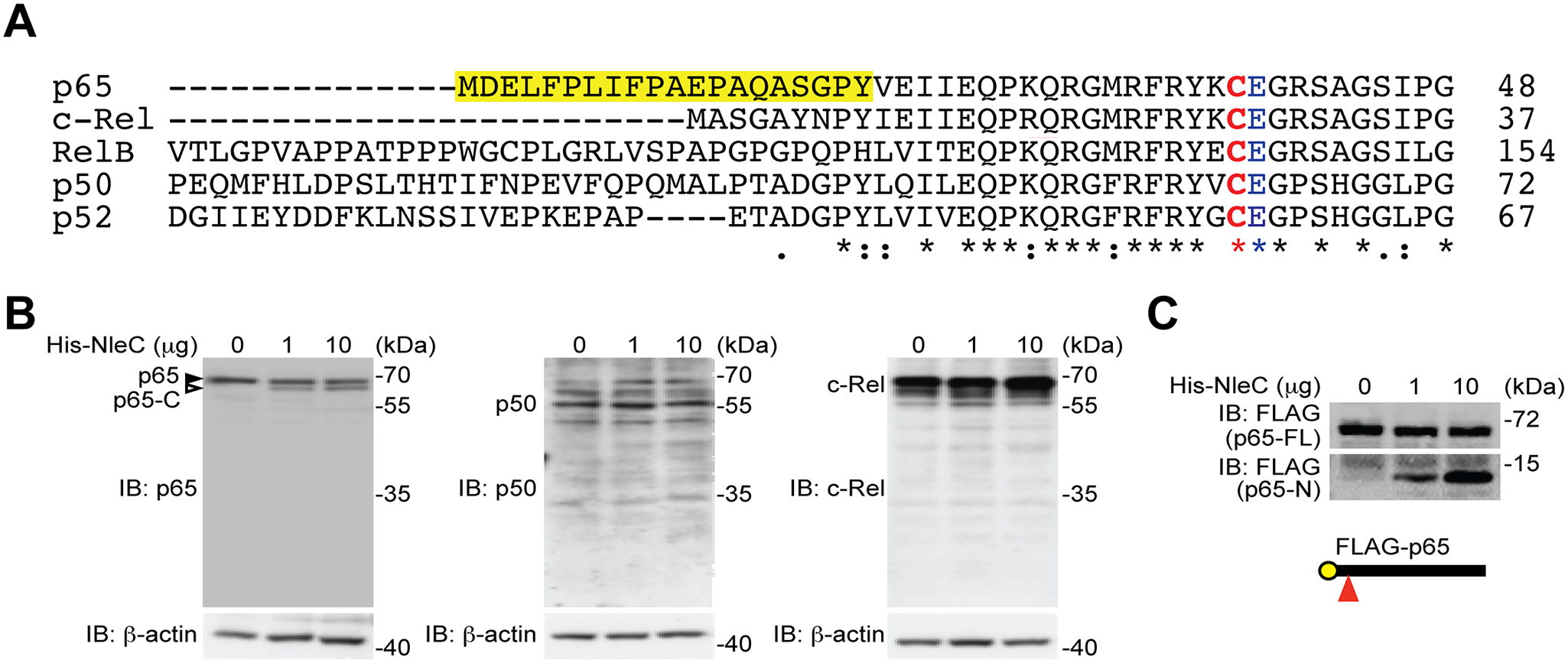 NleC specifically cleaves p65/RelA among the NF-κB Rel family proteins.