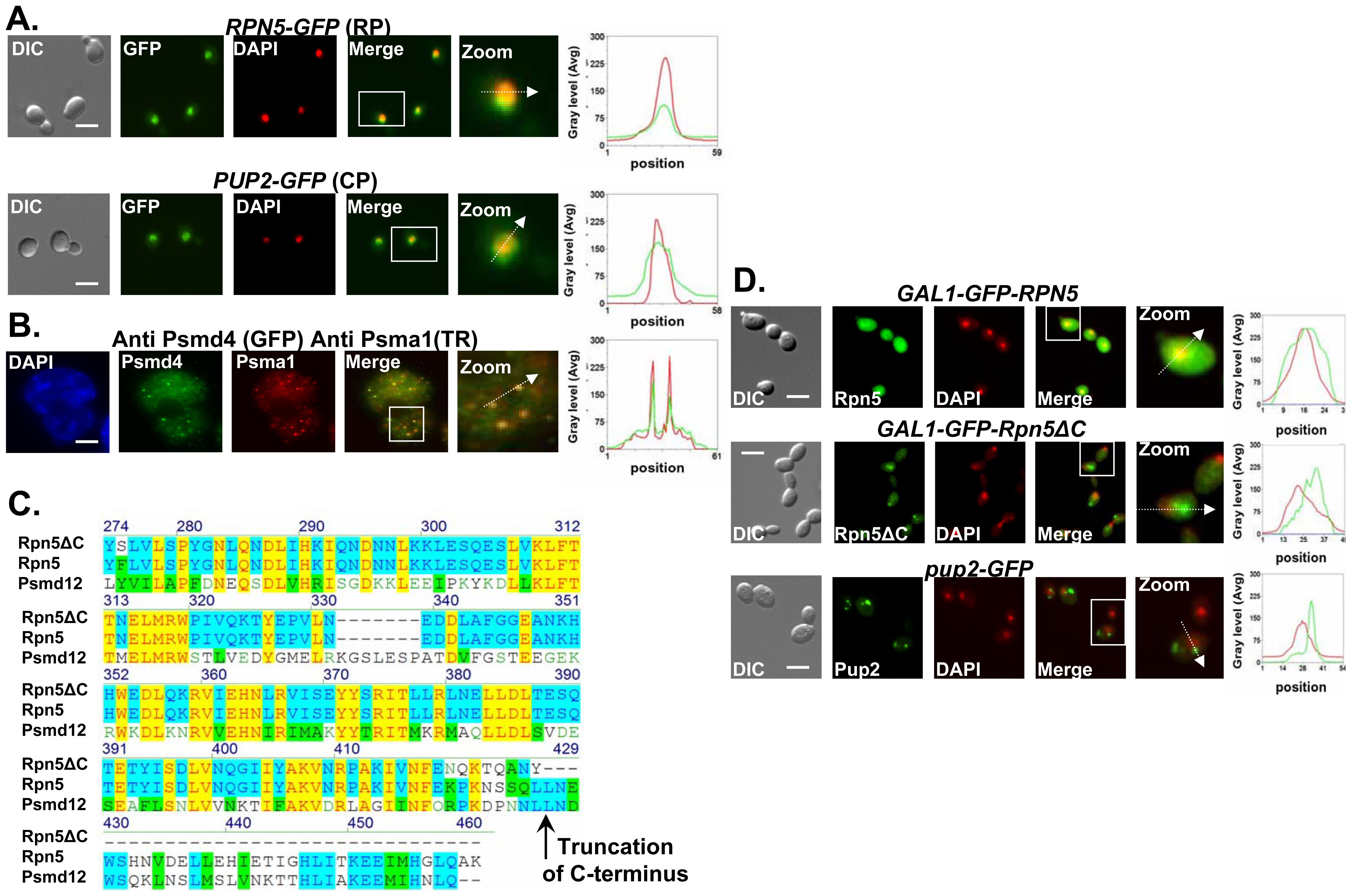 Proteasome subunits in yeast and mammalian cells localize to the nucleus; the Ts allele of <i>rpn5</i> is truncated at the C-terminus; proteasome CIN mutants show nucleus mislocalization of proteasome subunits.