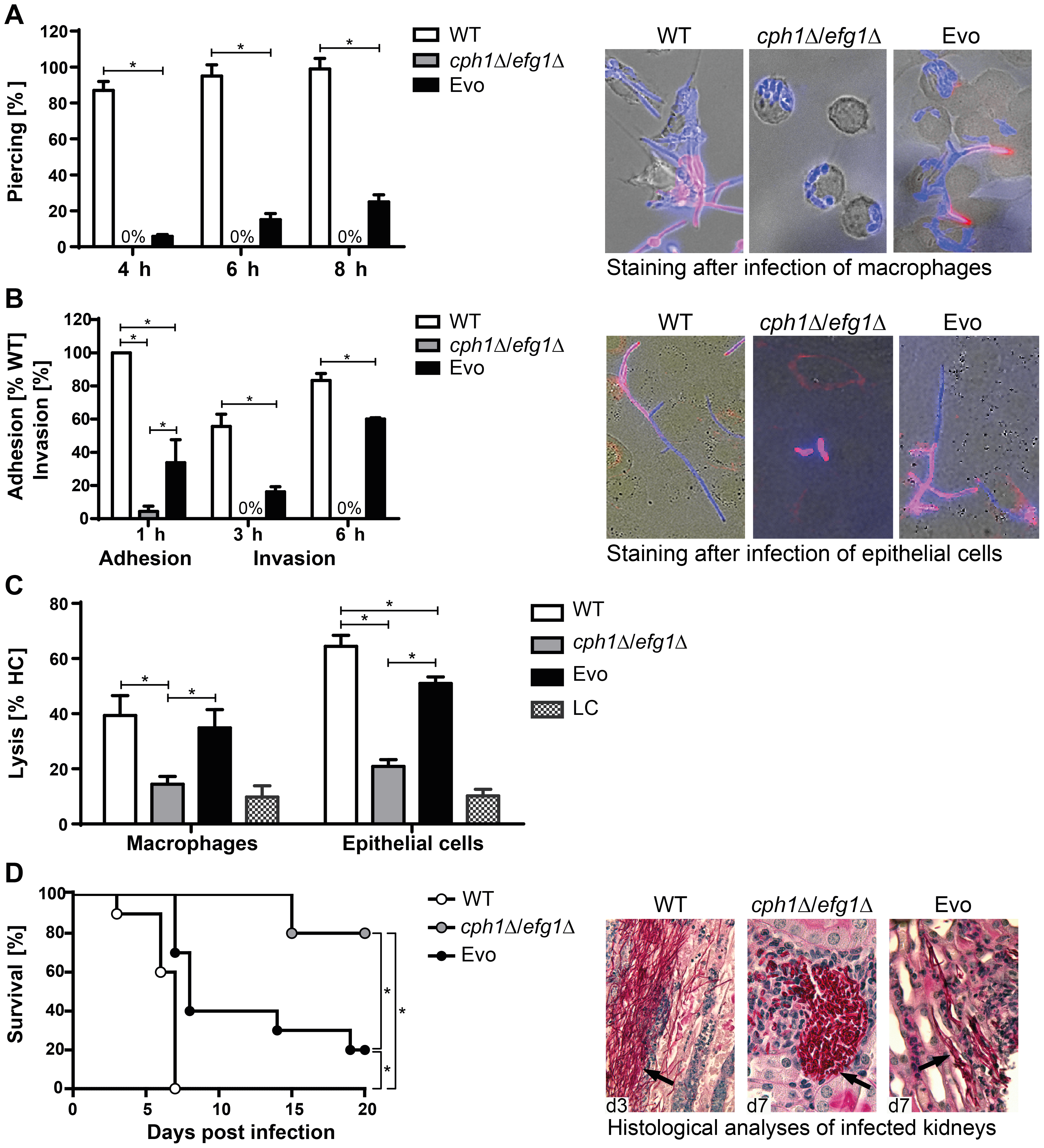 Characterization of Evo strain interaction with host cells and virulence potential.