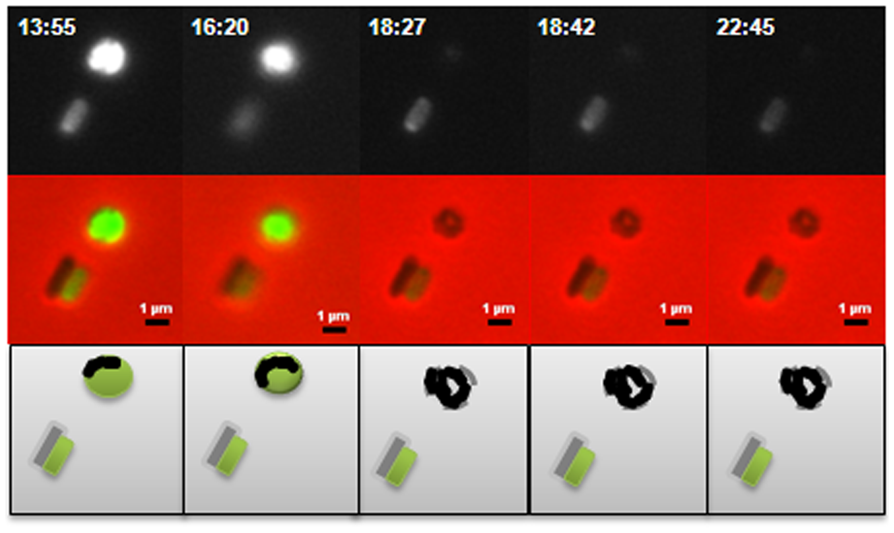 Predatory escape defect of the Δ<i>dgcA</i> cells from fluorescent <i>E. coli</i> prey.