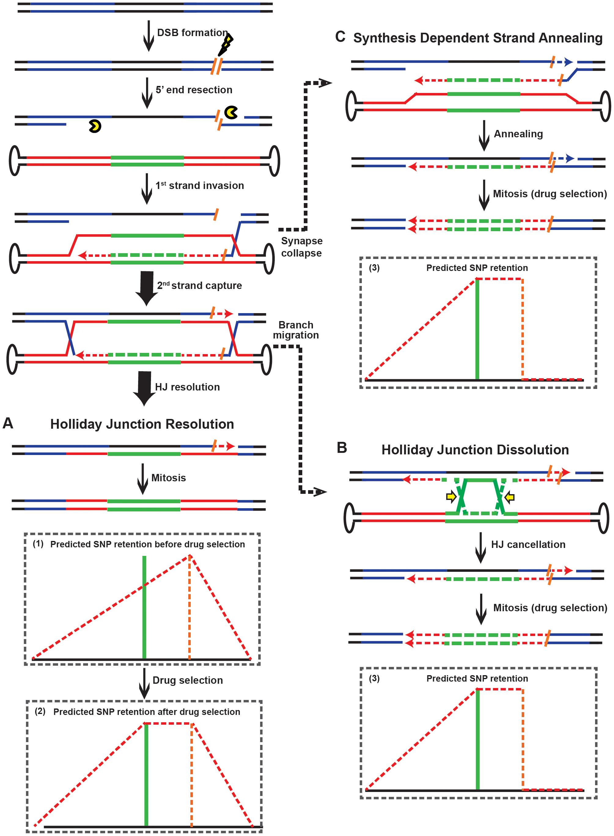 Models for rAAV gene targeting in the presence of DSBs.