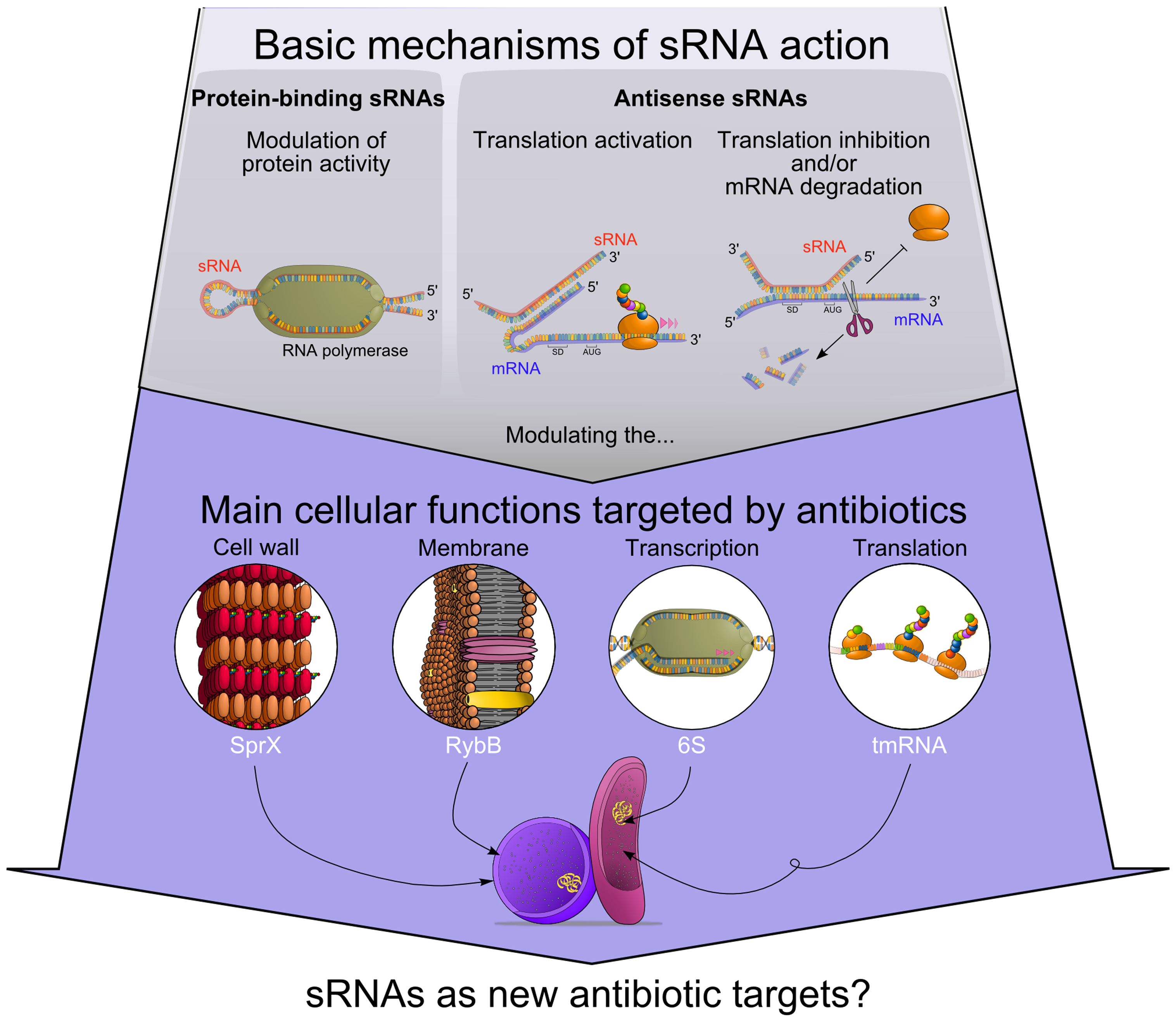 Functional connections between antibiotics' modes of action and regulatory RNAs.