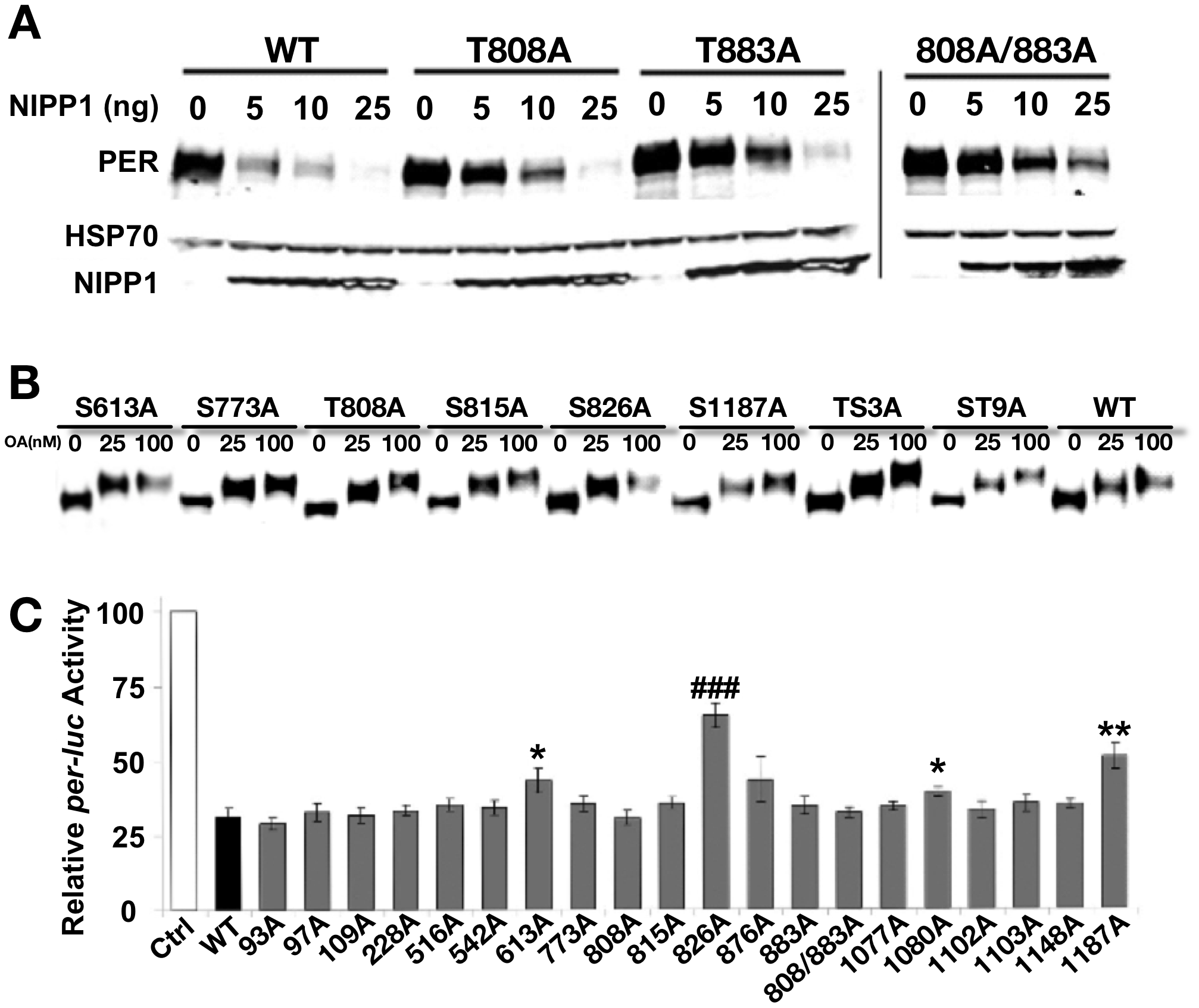 Analysis of PER phosphorylation sites in S2 cells.
