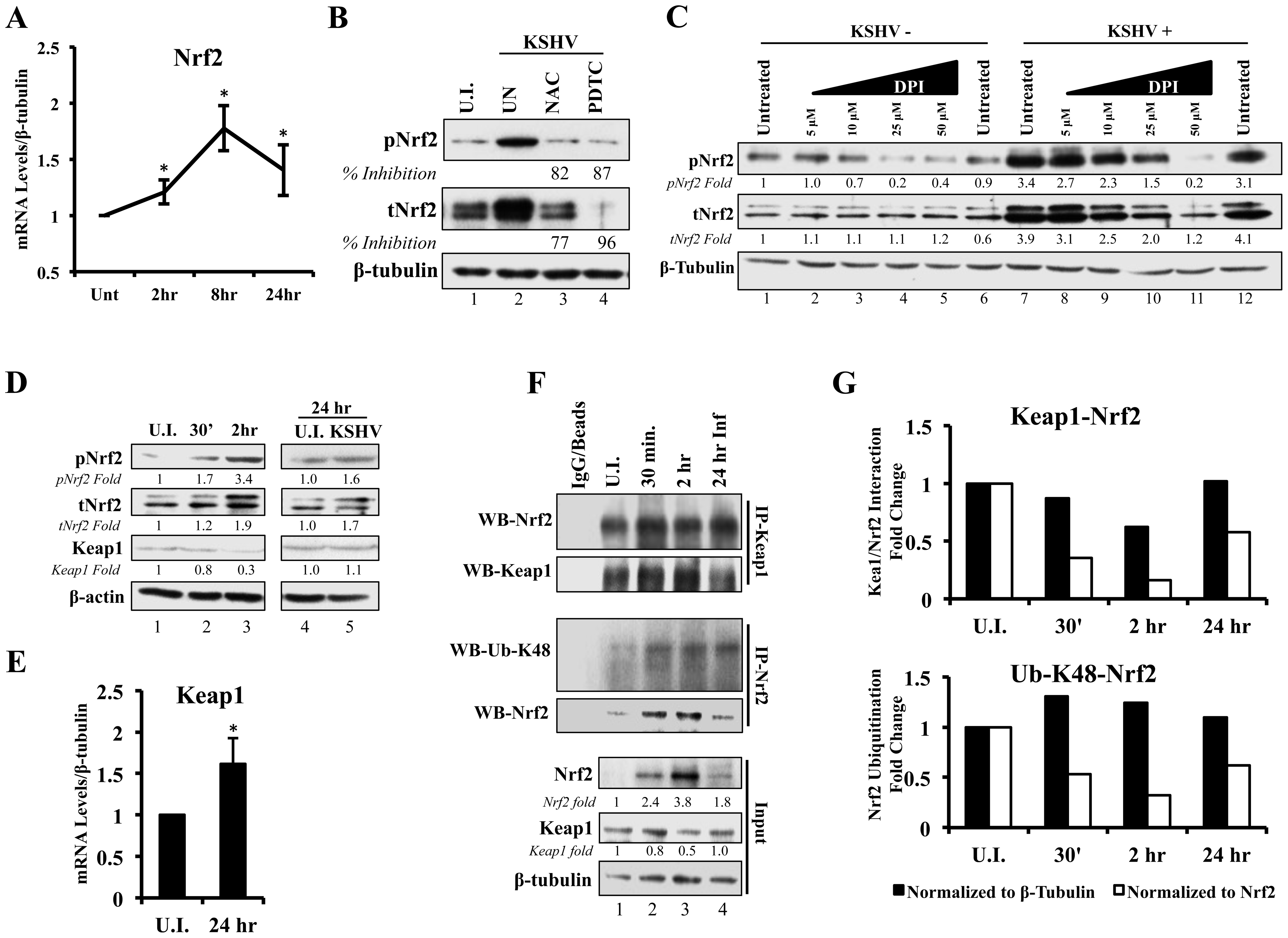 Effect of KSHV ROS induction on Nrf2-Keap1 interaction and Nrf2 ubiquitination.
