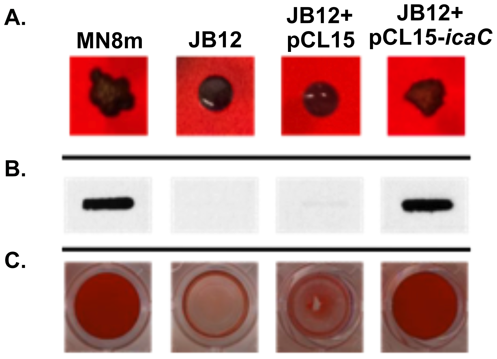 Effect of complementation of JB12 with <i>icaC</i> in trans on colony morphology, PNAG production, and biofilm formation.