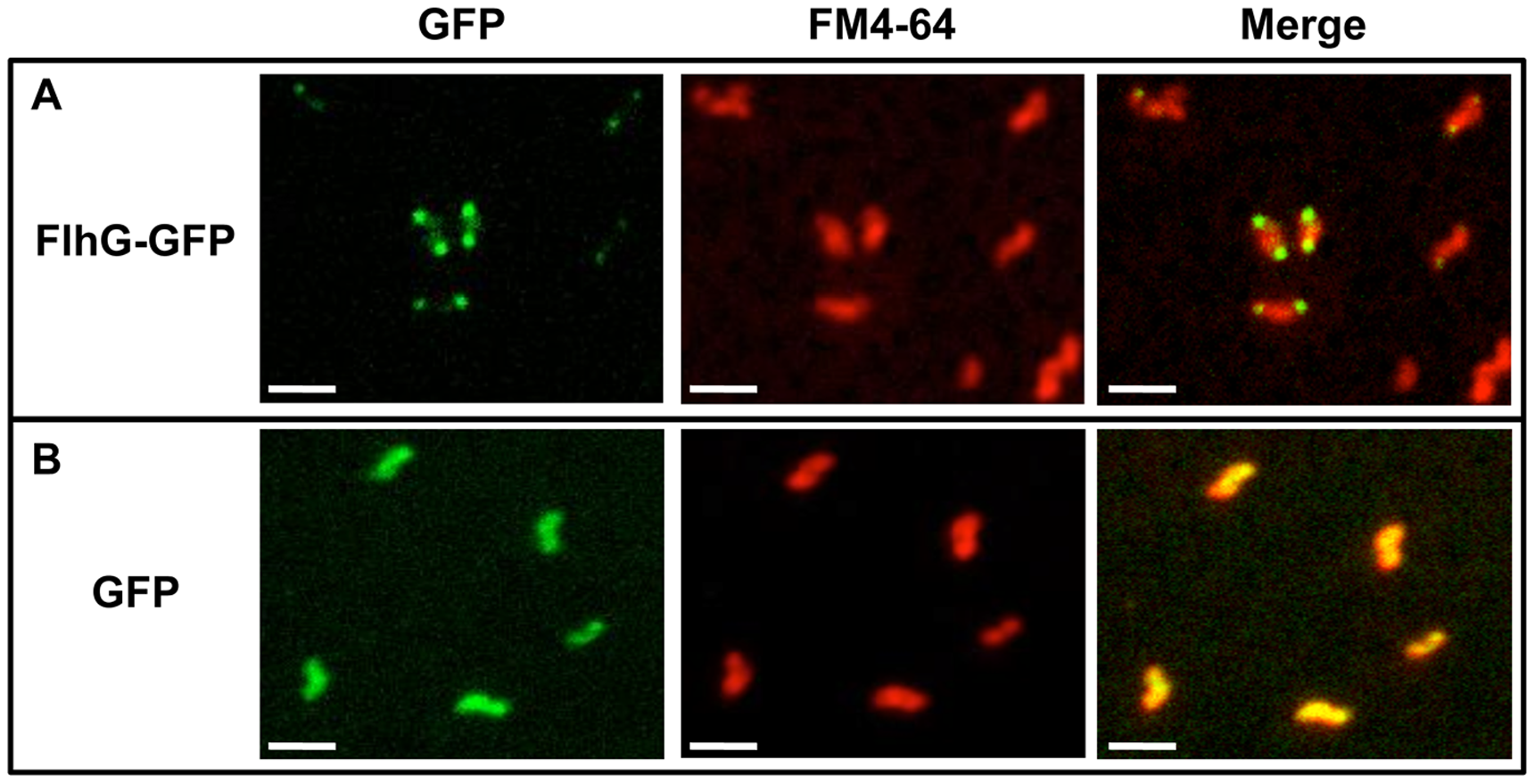Analysis of cellular localization of FlhG-GFP.
