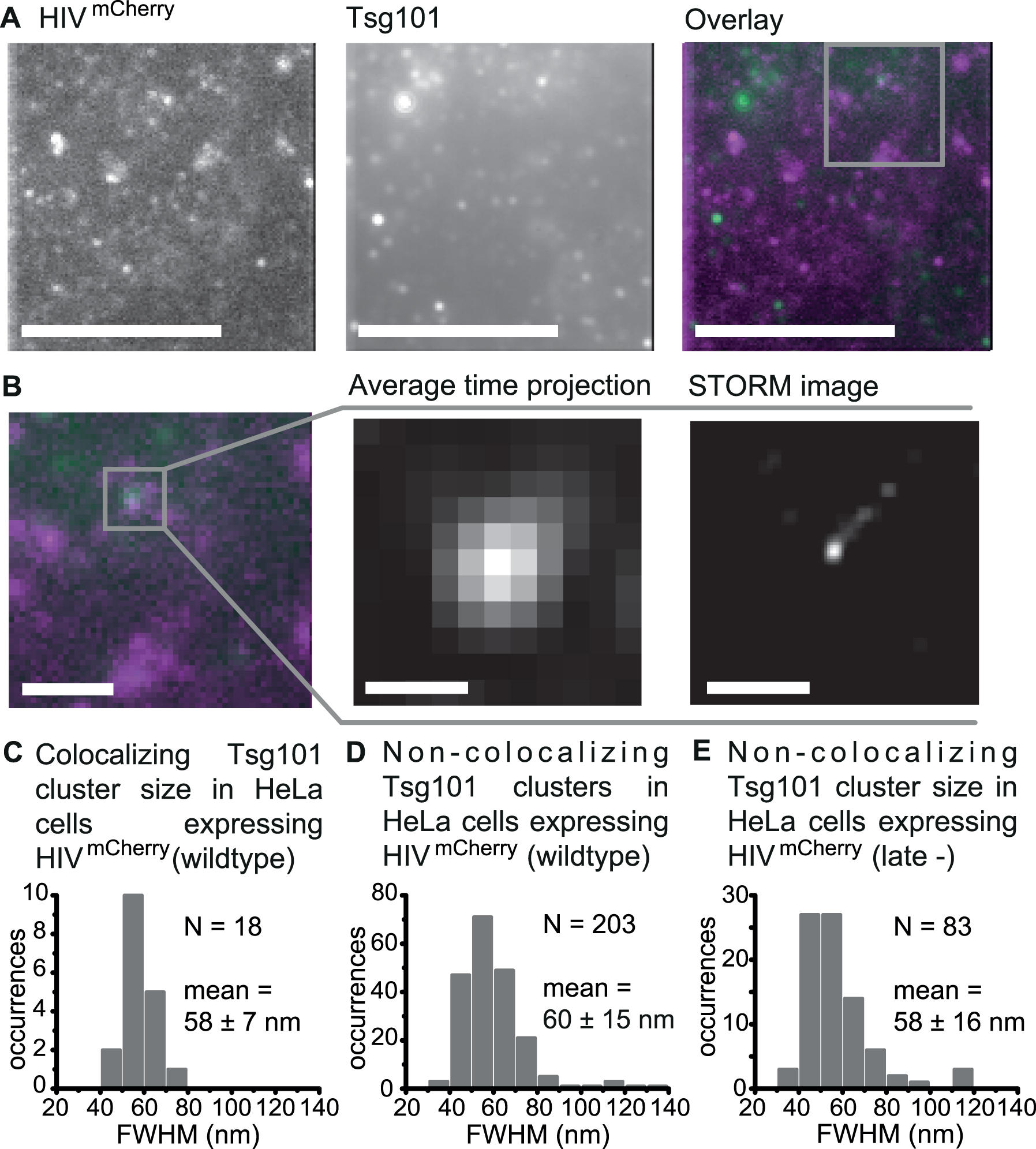 Super-resolution images of Tsg101 at HIV-1 assembly sites.