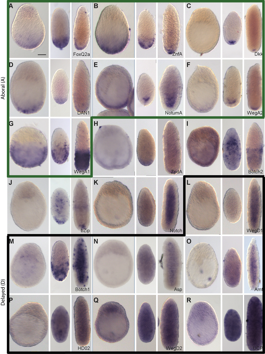 Preferential expression of Wnt3-MO-embryo over-expressed transcripts in aboral domains and planulae.