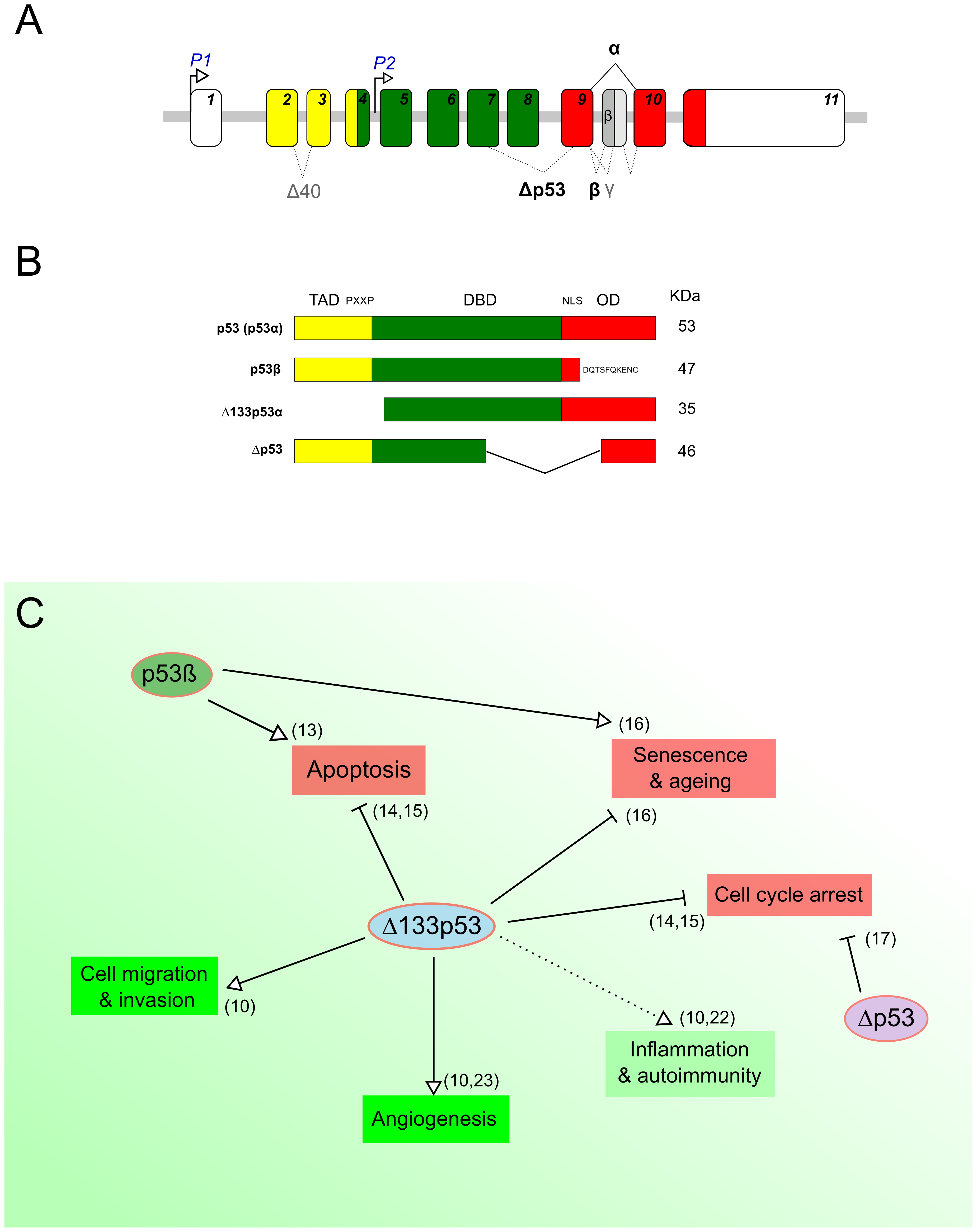 p53 protein isoforms and their biological functions.