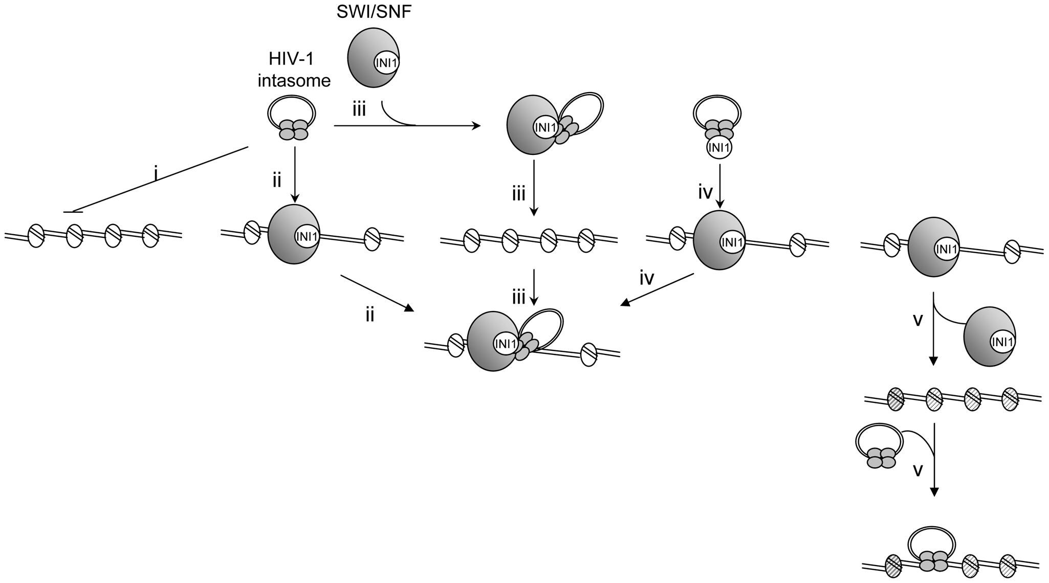 Model for HIV-1 integration into stable chromatin regions.