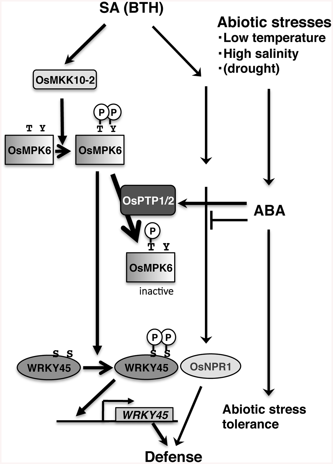 Proposed model for the mechanism underlying SA–ABA crosstalk through OsPTP1/2 against the OsMPK6–WRKY45-mediated SA pathway of the rice defence program.