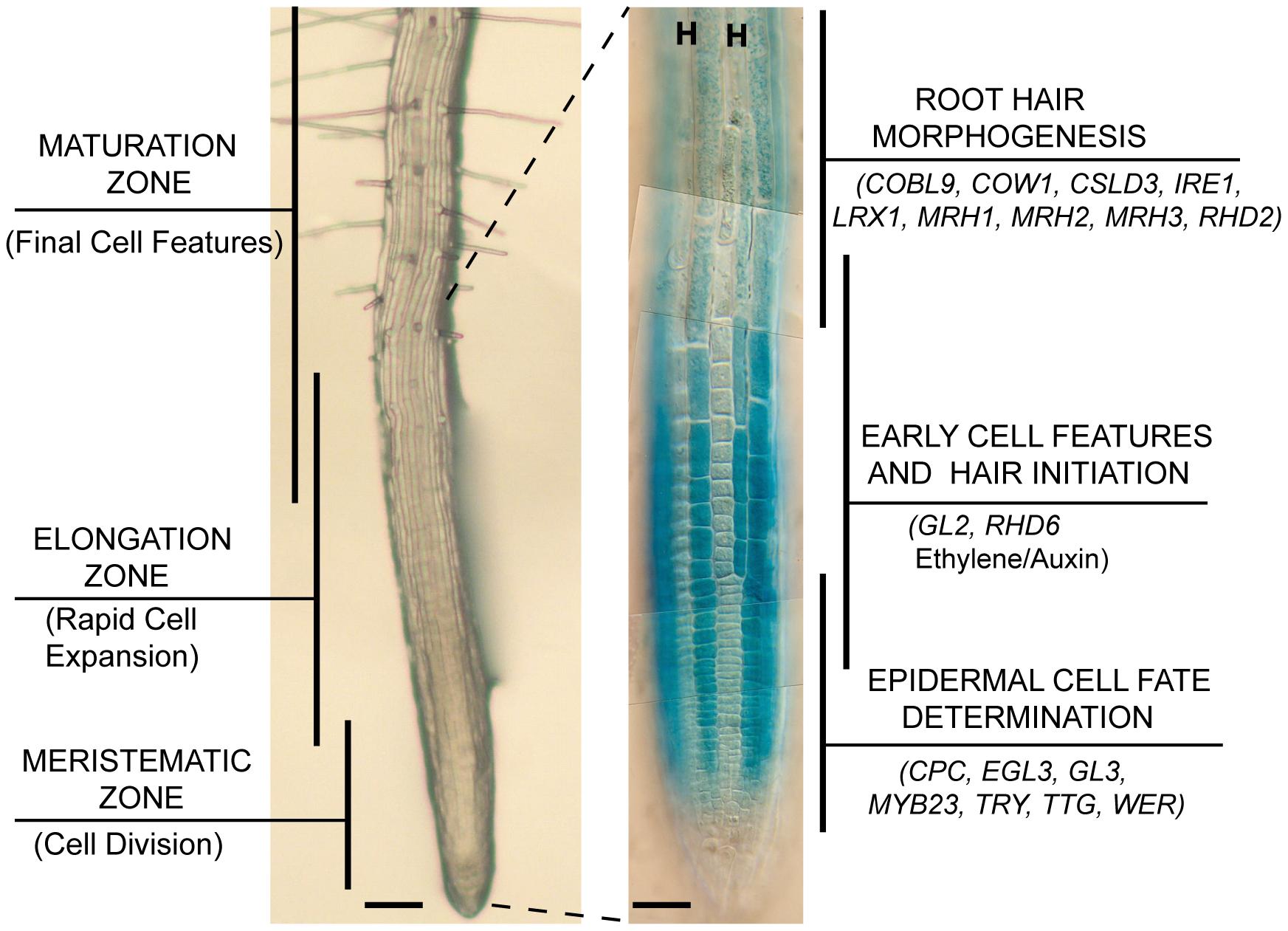 Development of the Arabidopsis root epidermis.