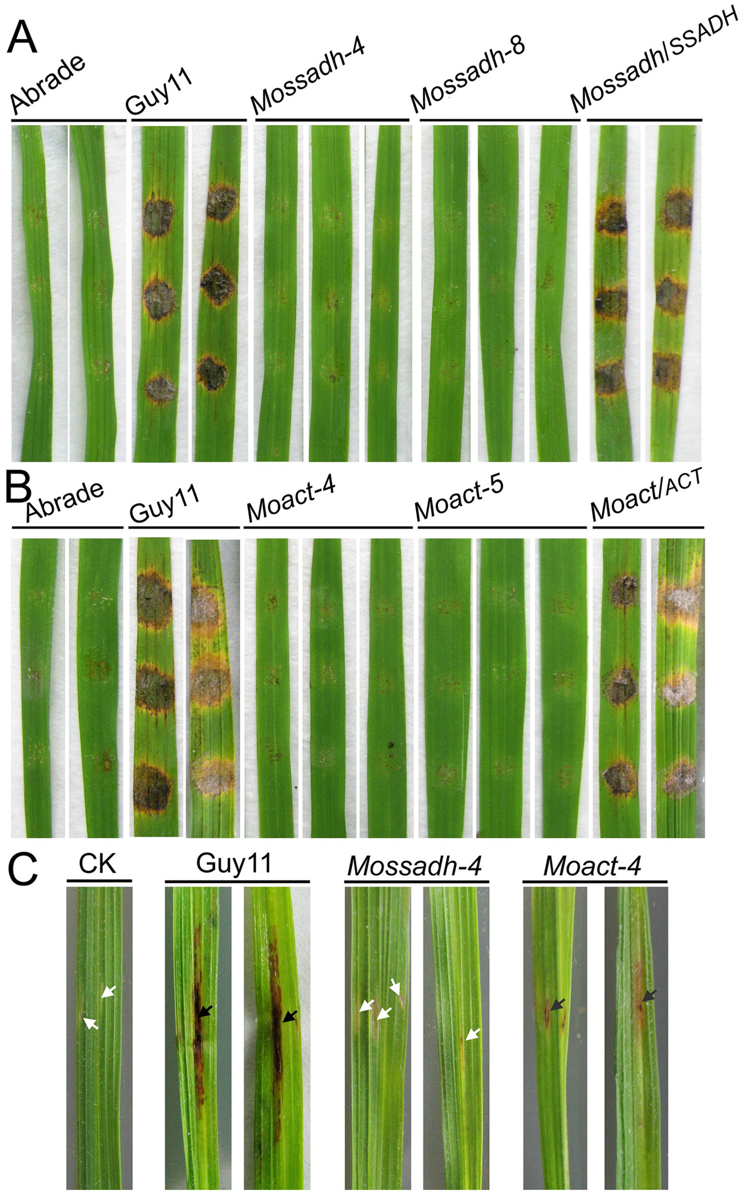 Pathogenicity test of <i>Mossadh</i> and <i>Moact</i> mutant strains on the wounded rice leaves.