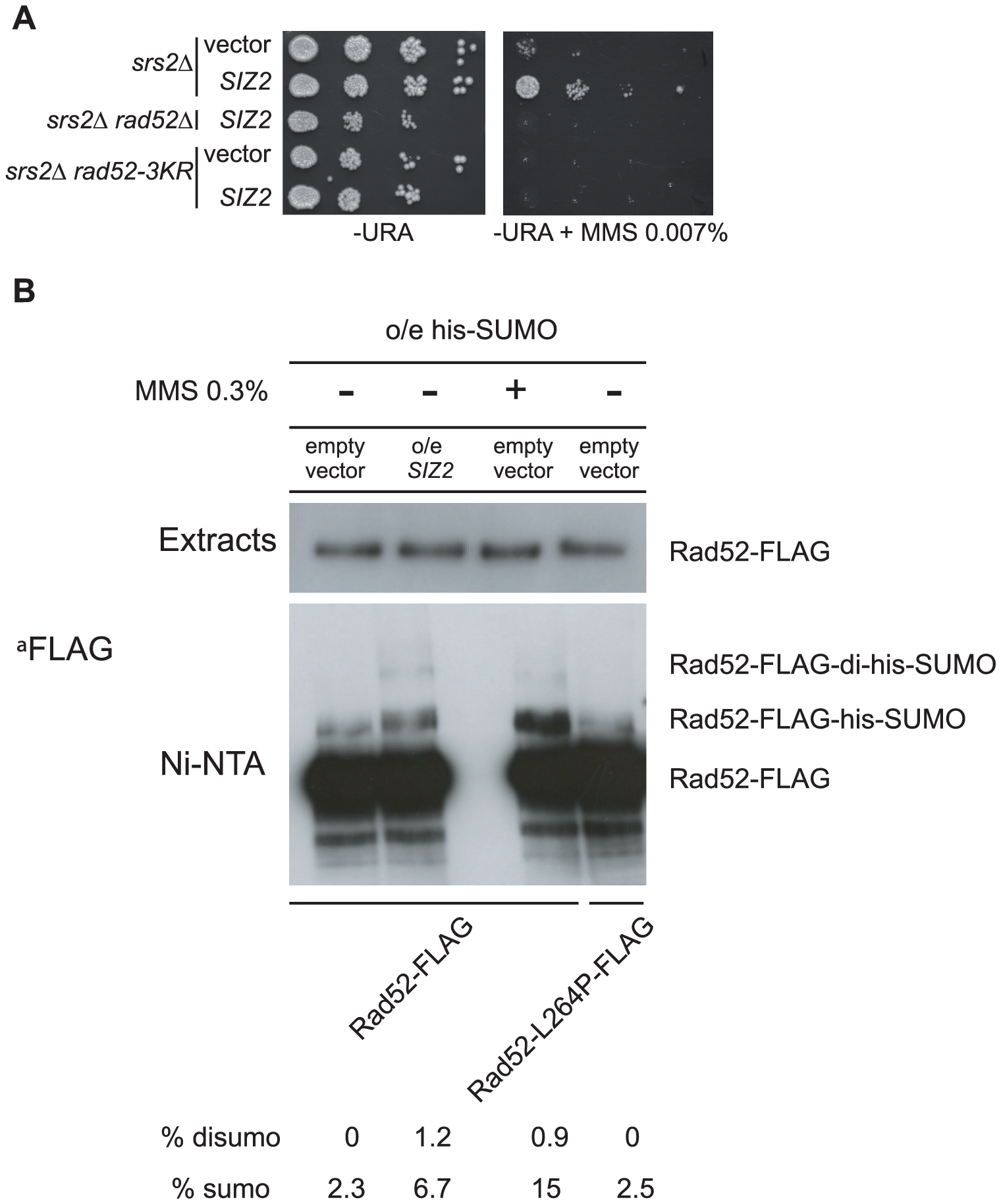 Over-expression of the <i>SIZ2</i> SUMO-ligase coding gene suppresses the MMS sensitivity of <i>srs2</i>Δ by stimulating Rad52 sumoylation.