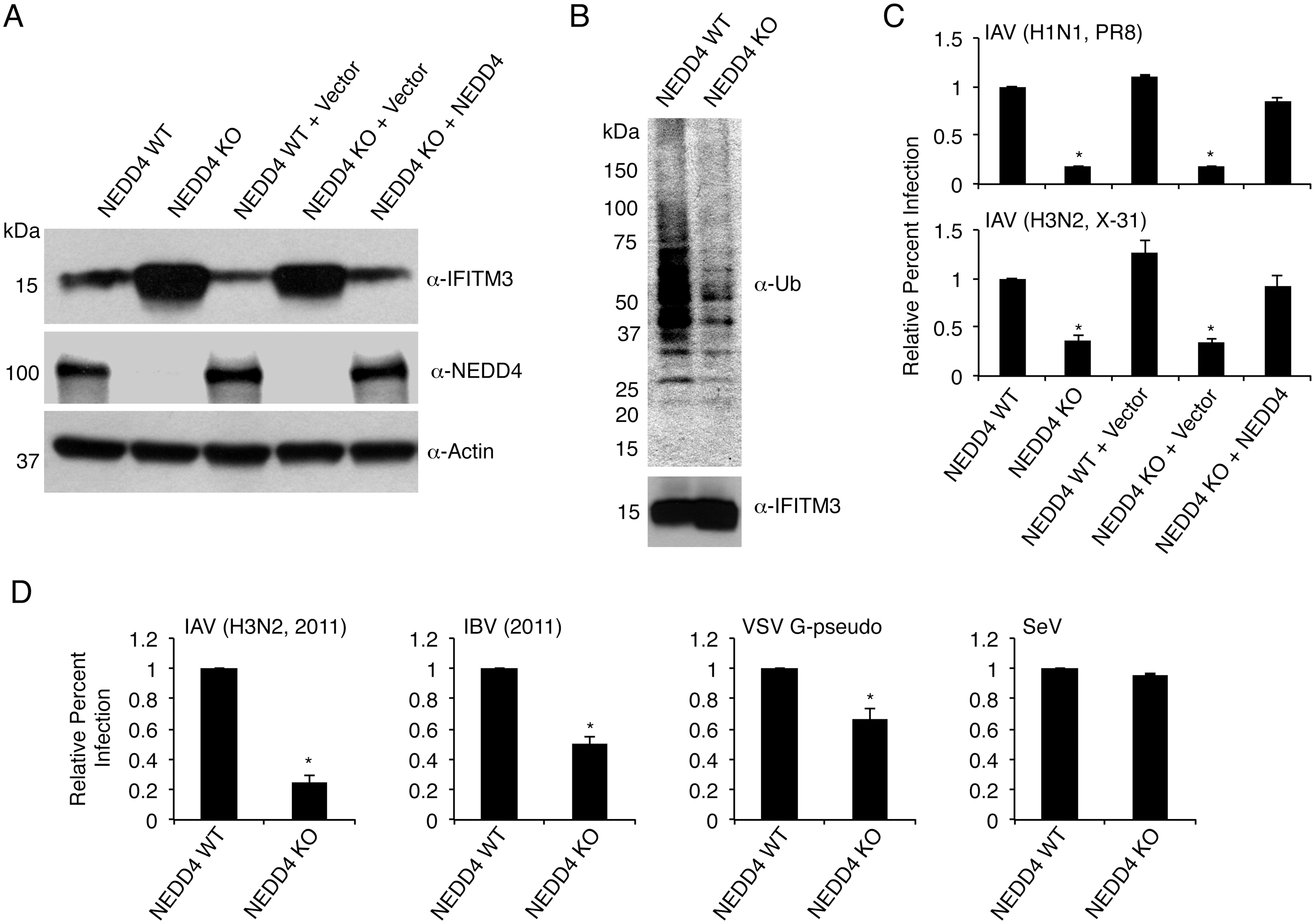 NEDD4 knockout decreases IFITM3 ubiquitination and protects cells from virus infection.