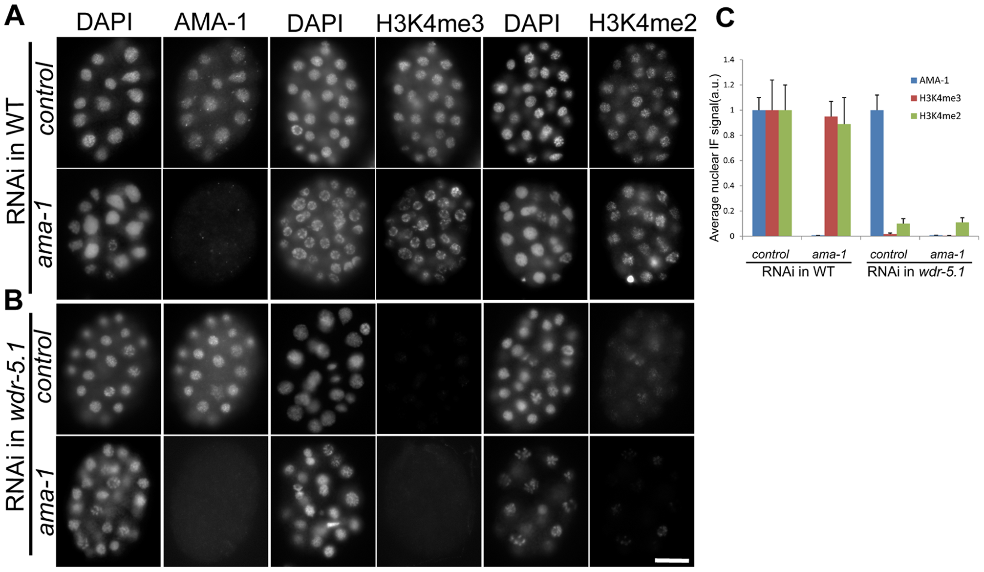 RNAi knock-down of <i>ama-1</i> does not affect WDR-5.1–dependent H3K4 methylation in early embryos.