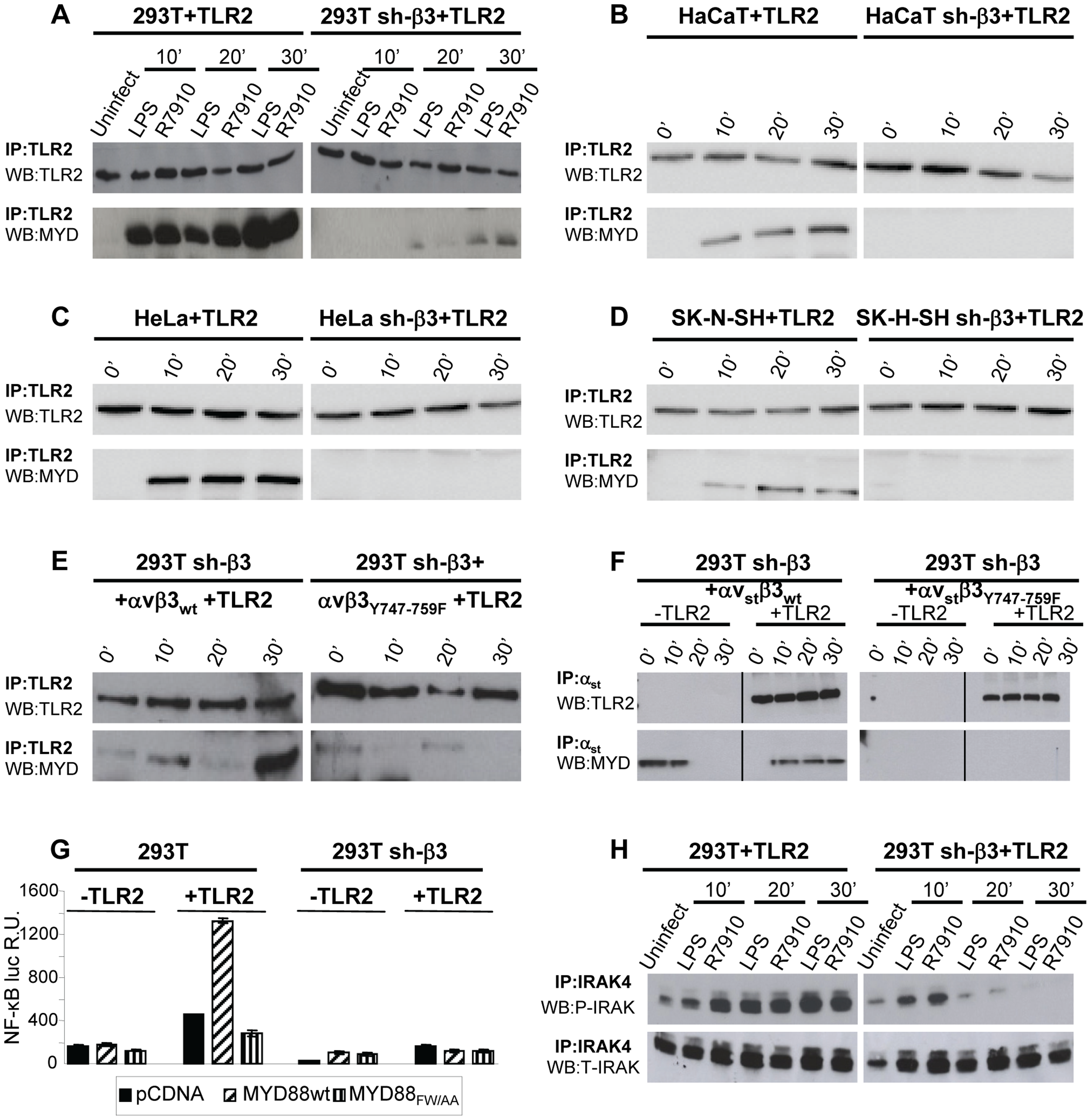 The recruitment of MYD88 to TLR2 and IRAK-4 phosphorylation are decreased in β3-integrin–silenced cells.