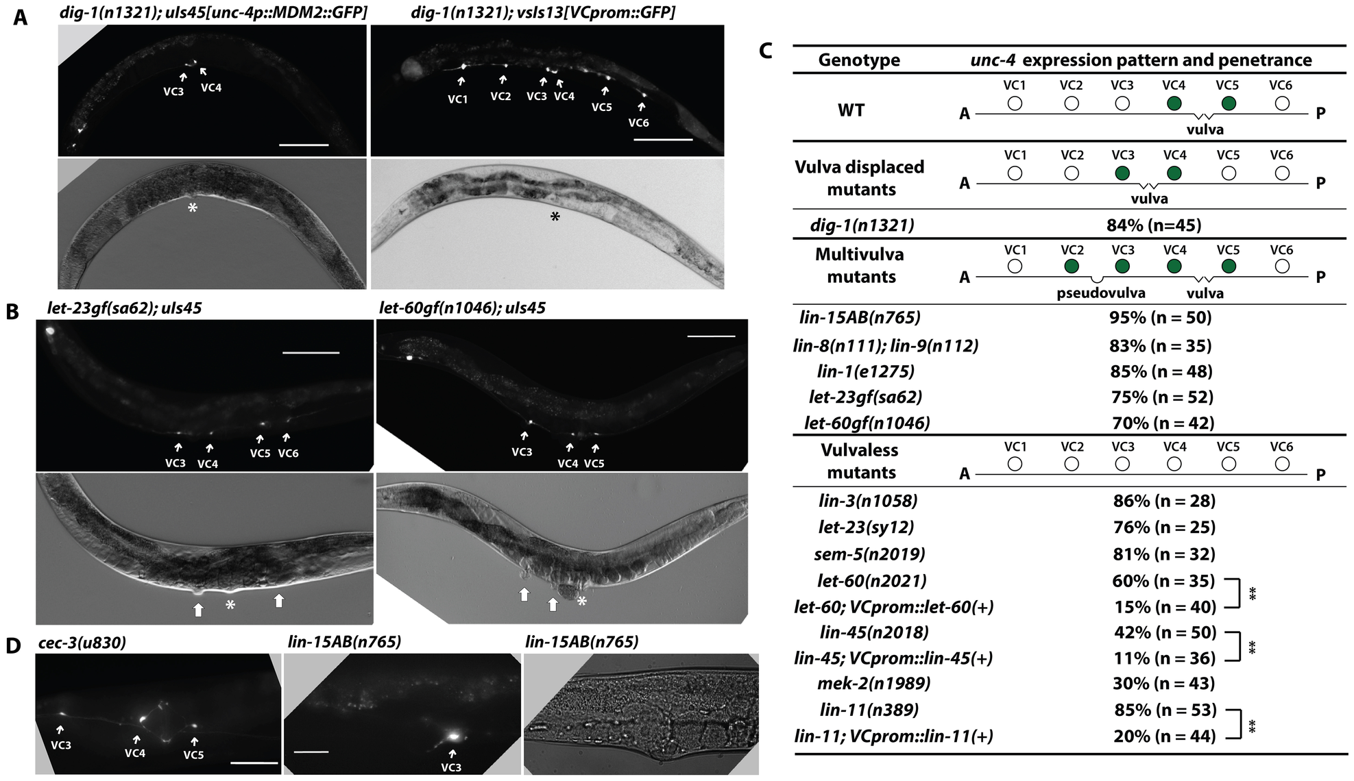 <i>unc-4</i> expression in the vulval VC neurons depends on signals from the developing vulva.