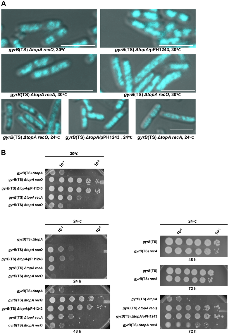 Topo III overproduction, and <i>recA</i> and <i>recQ</i> deletions complement the growth and chromosome segregation defects in the <i>gyrB</i>(Ts) <i>ΔtopA</i> strain.