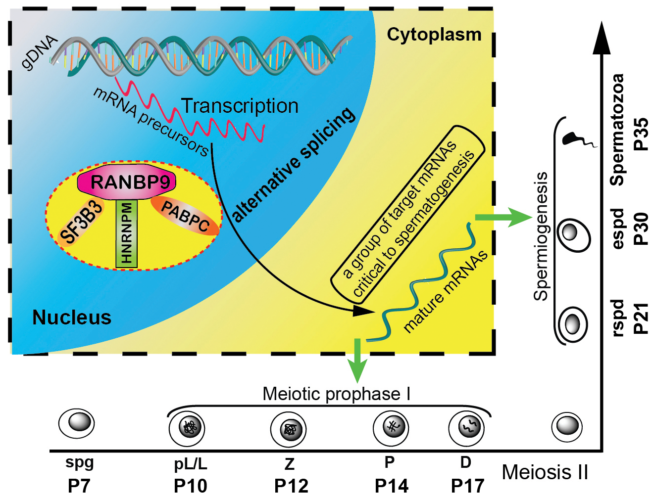 Schematic diagram showing the proposed model of RANBP9 function during spermatogenesis in mice.