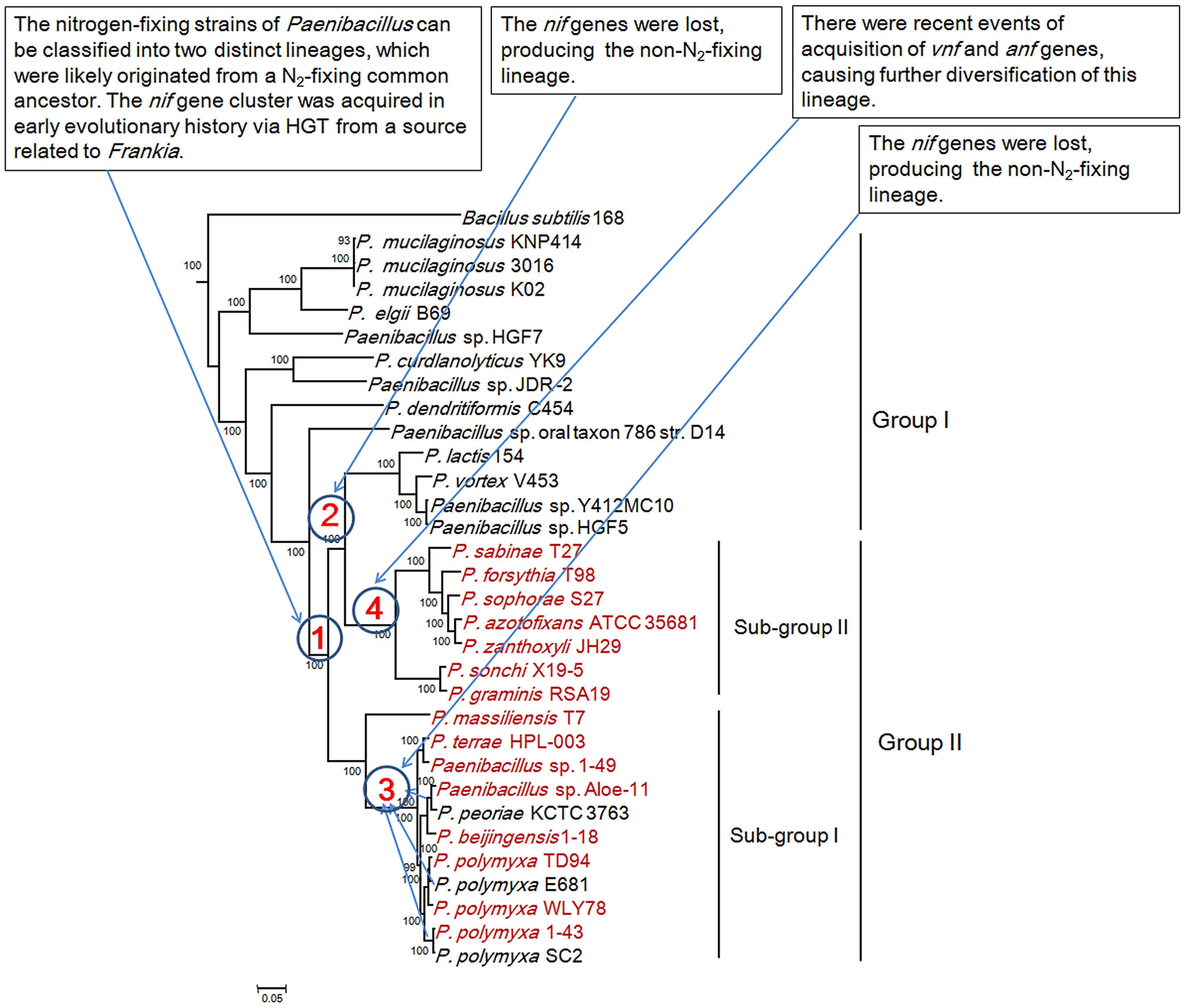 Maximum-likelihood phylogenetic tree of <i>Paenibacillus</i> strains and the 4 possible evolutionary pathways of nitrogen fixation in <i>Paenibacillus</i>.