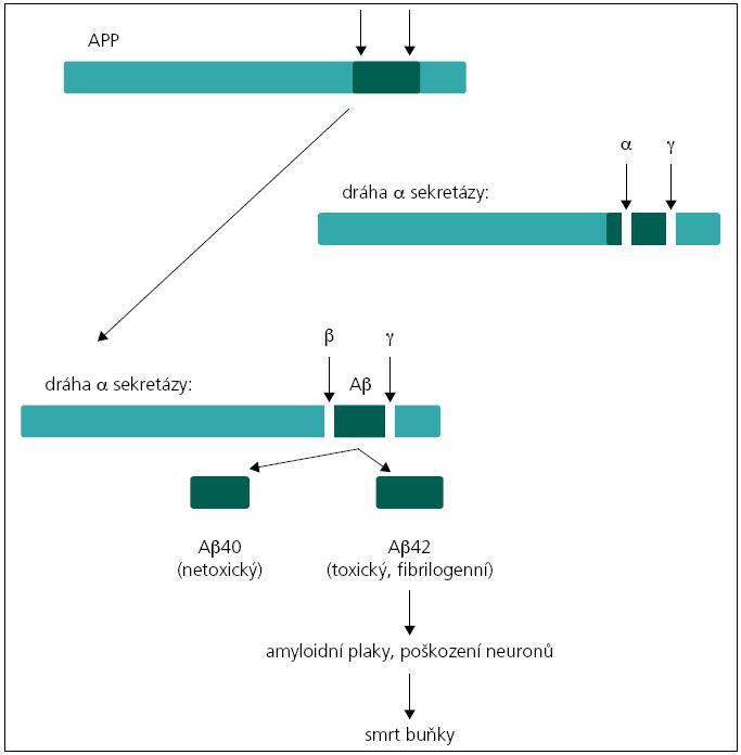 Jednotlivé kroky vedoucí k vzniku amyloidu β z APP.