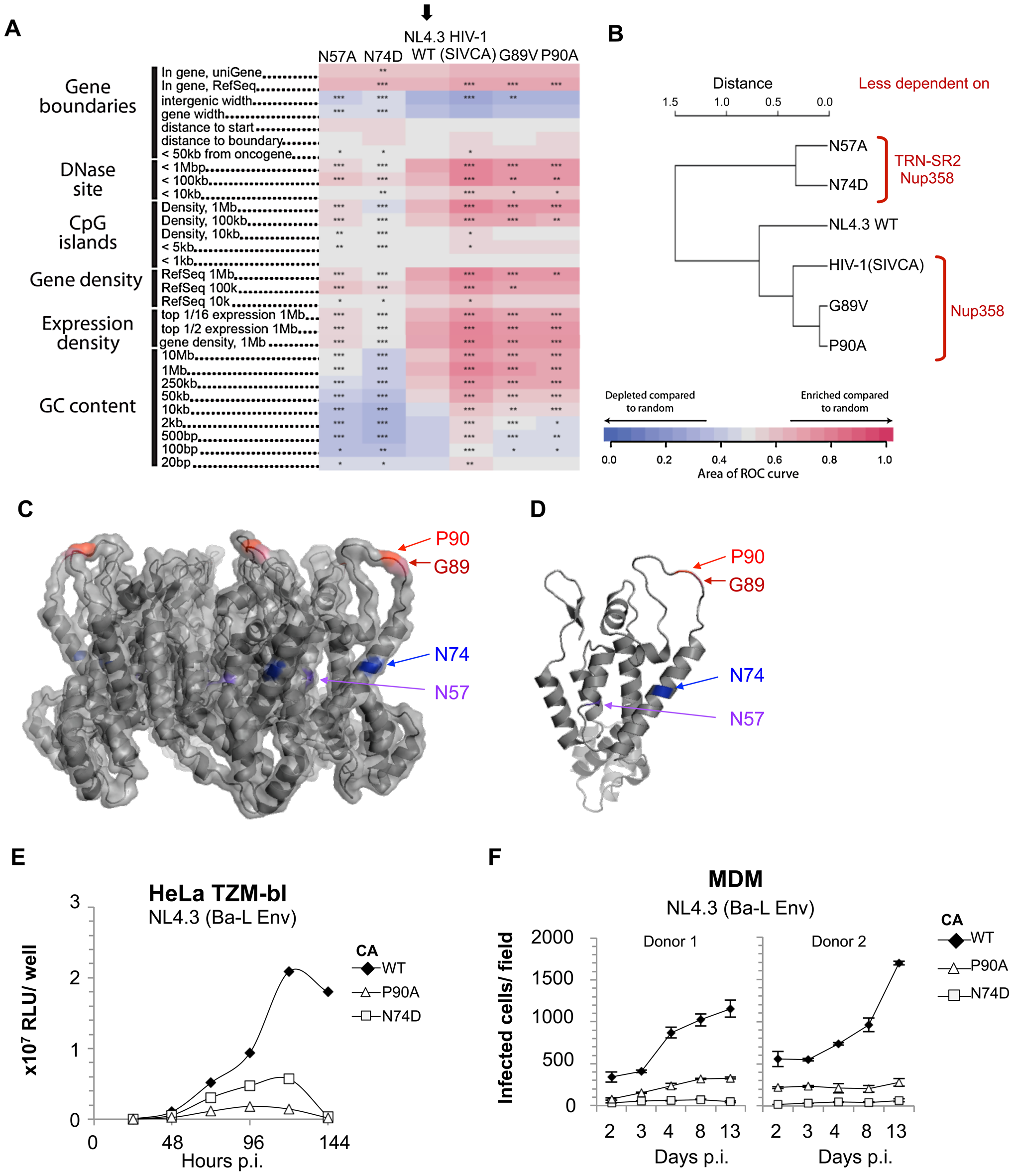 Residue changes in HIV-1 CA mutants alter integration site targeting.