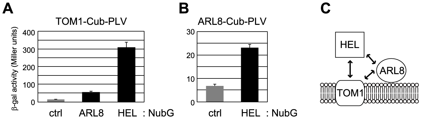 Interactions between TOM1, ARL8, and the helicase domain polypeptide (HEL) of ToMV replication proteins.