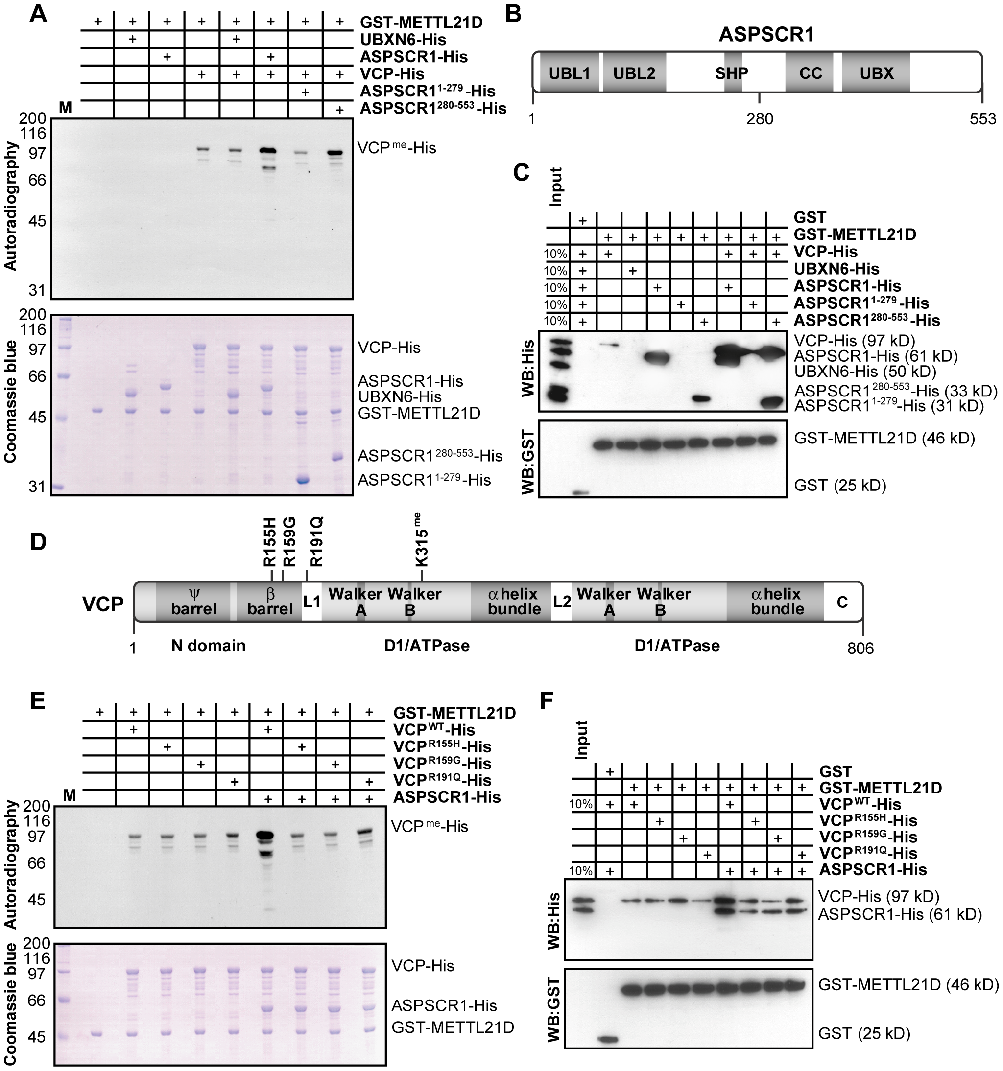 ASPSCR1 promotes methylation of VCP by METTL21D.