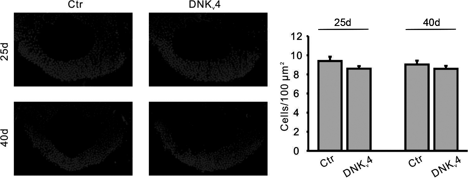 No significant MB cell loss is found in the DNK<sub>v</sub>4 transgenic line.