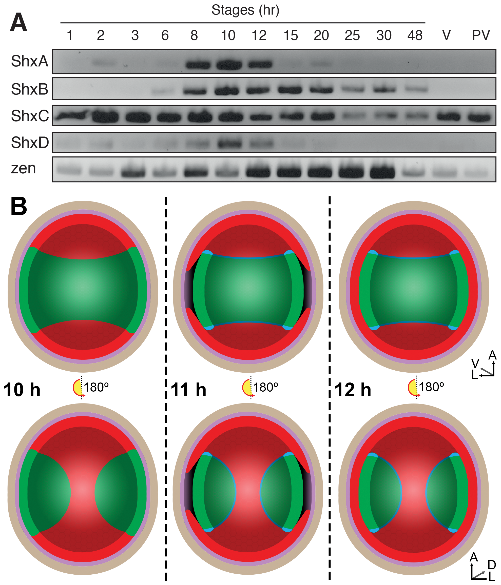 (A) Expression of Shx genes throughout embryonic stages of <i>P. aegeria</i>.