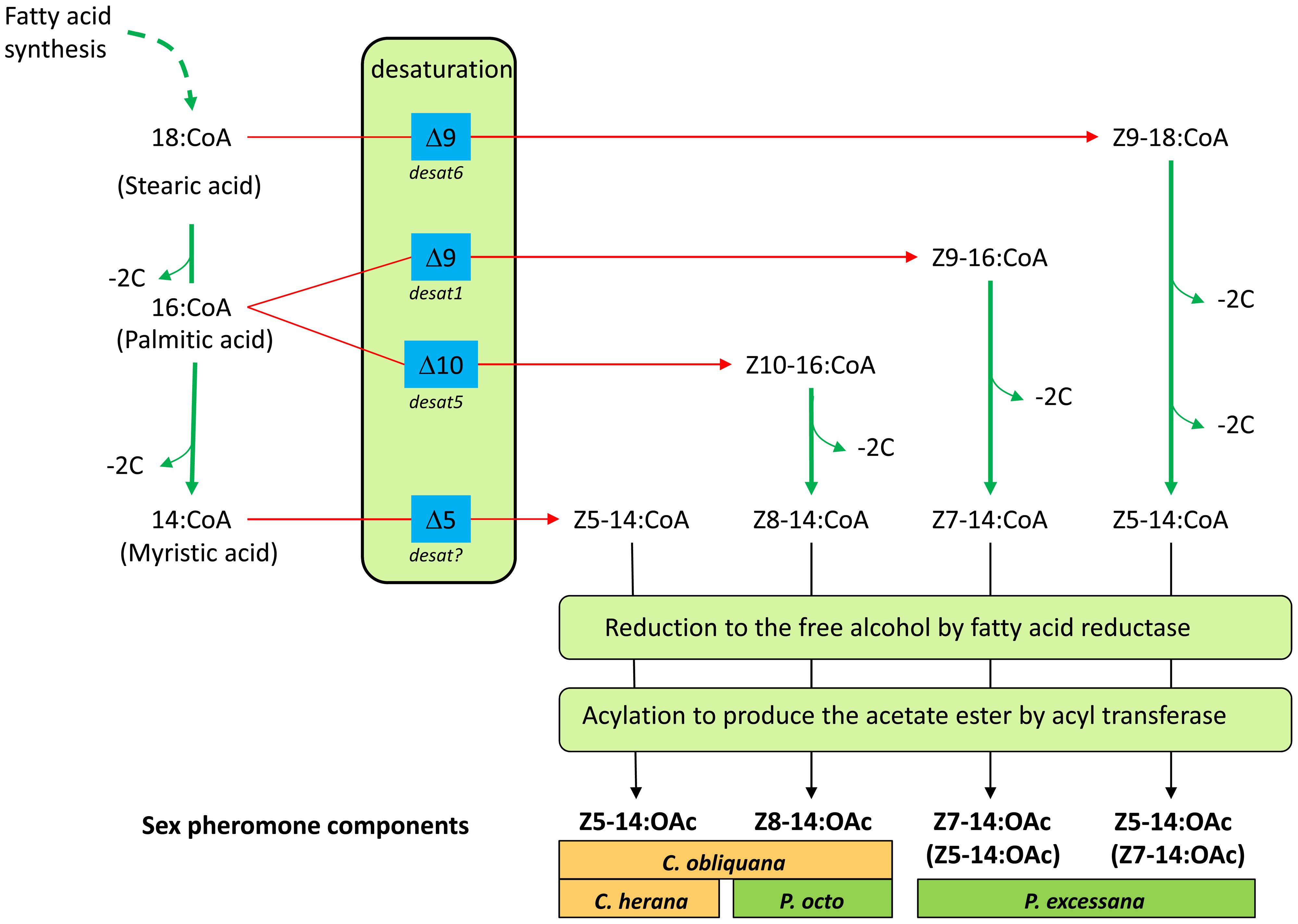 Schematic outlining the likely biosynthetic routes of the sex pheromone components of <i>C. obliquana</i>, <i>C. herana</i>, <i>P. octo</i>, and <i>P. excessana</i>.