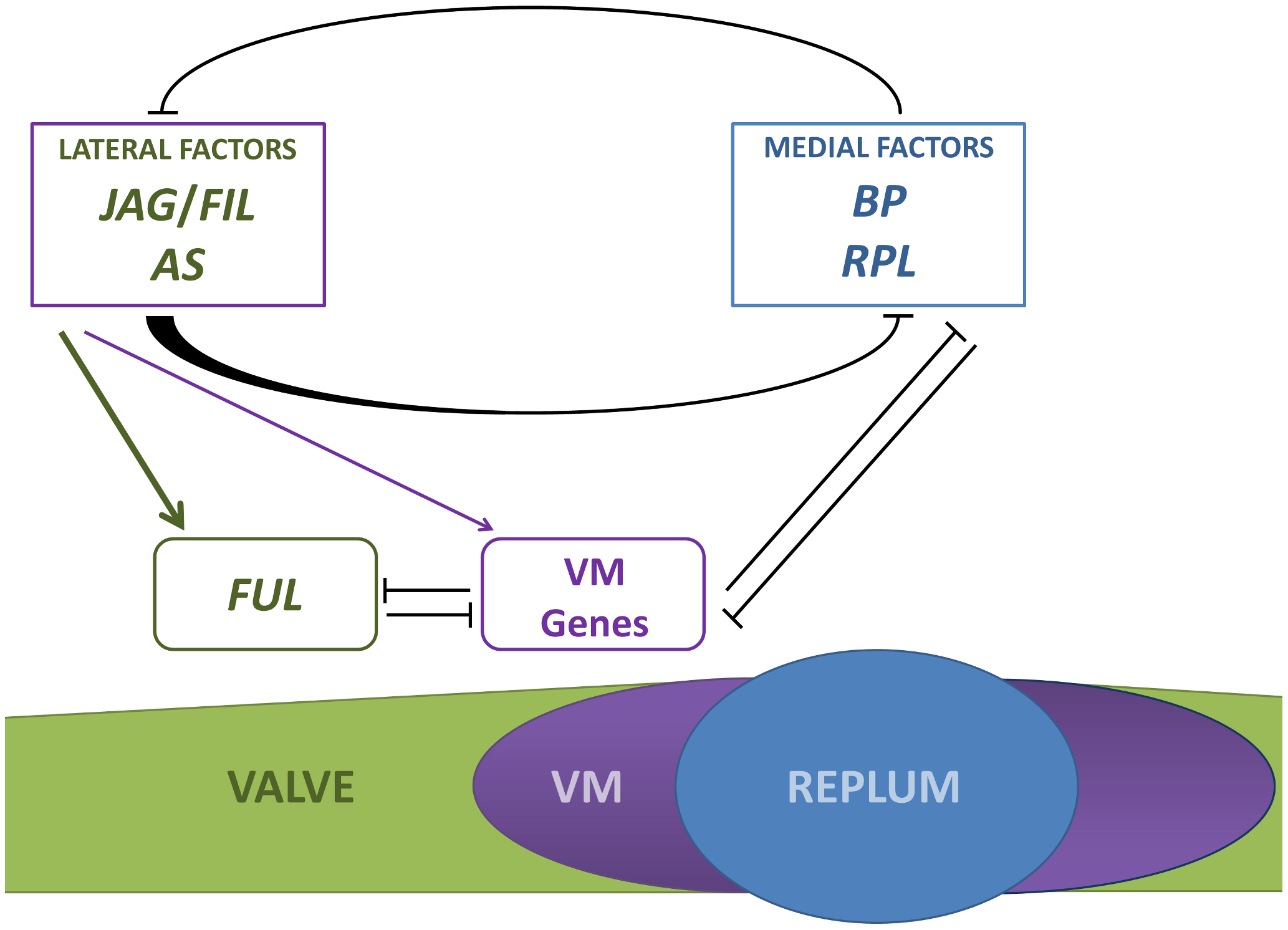 Simplified model for patterning along the mediolateral axis of the <i>Arabidopsis</i> fruit.