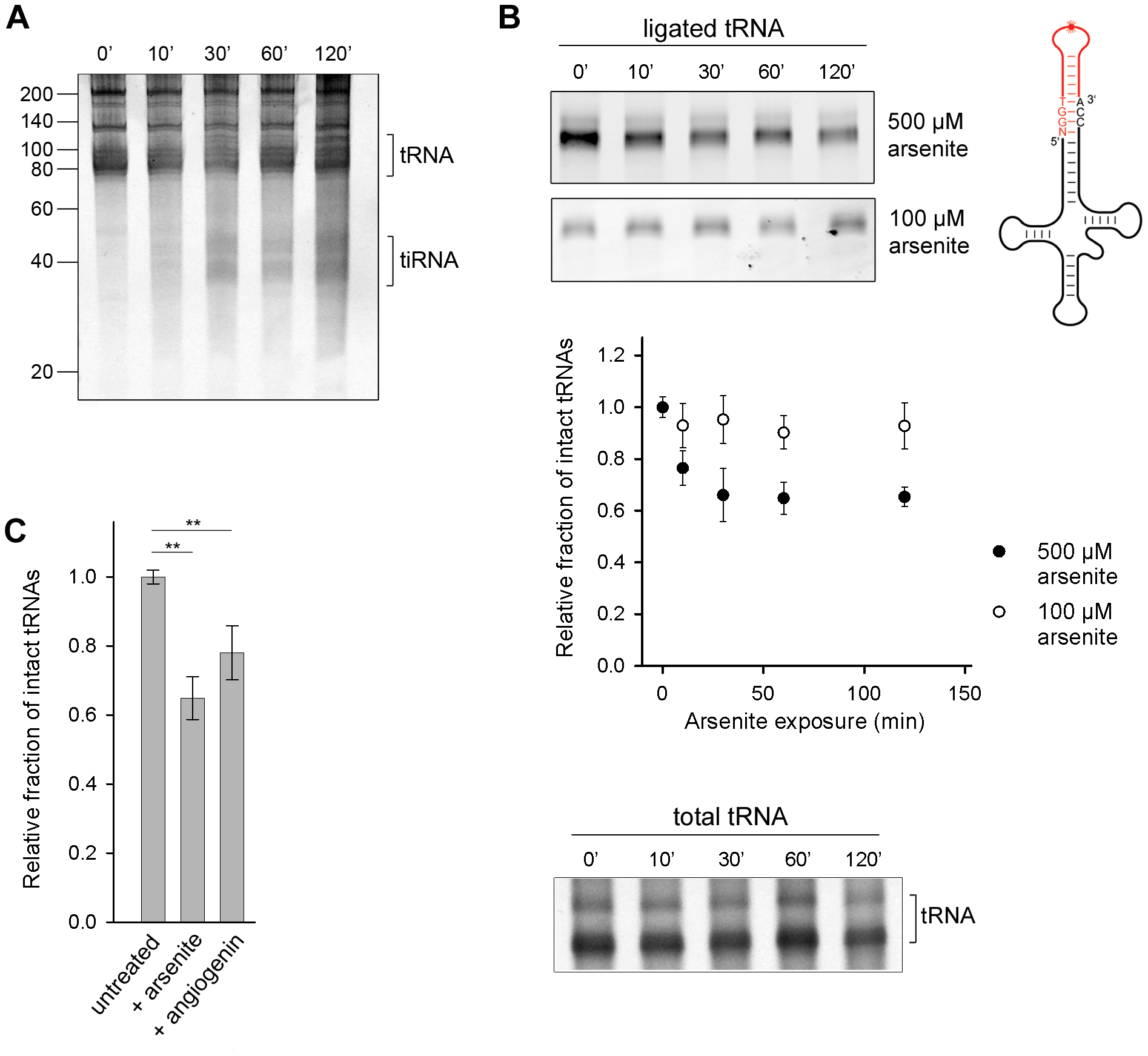 Oxidative stress-mediated tRNA cleavage in HeLa cells.