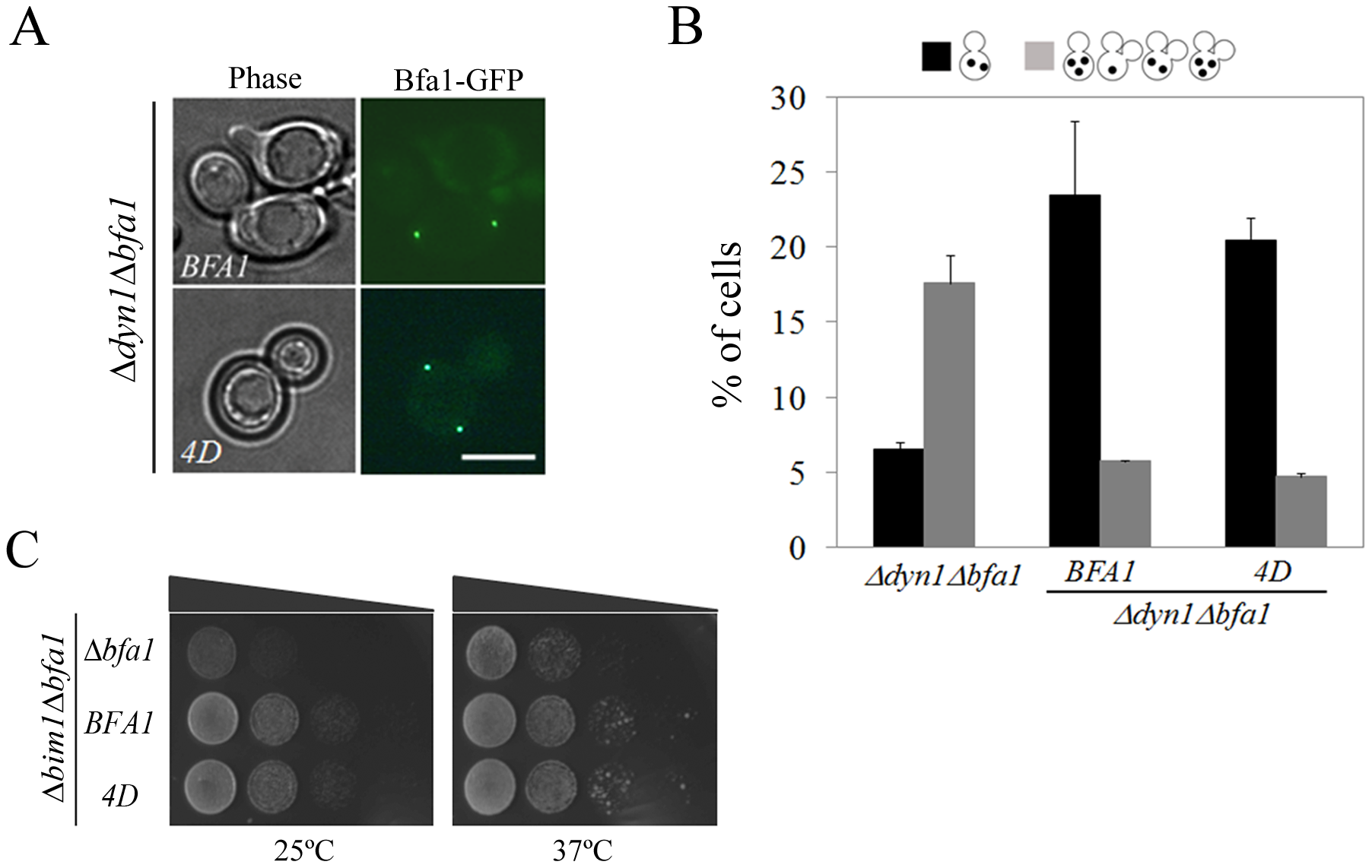 Localization and SPOC activity of Bfa1<sup>4D</sup> in cells with misaligned spindle.
