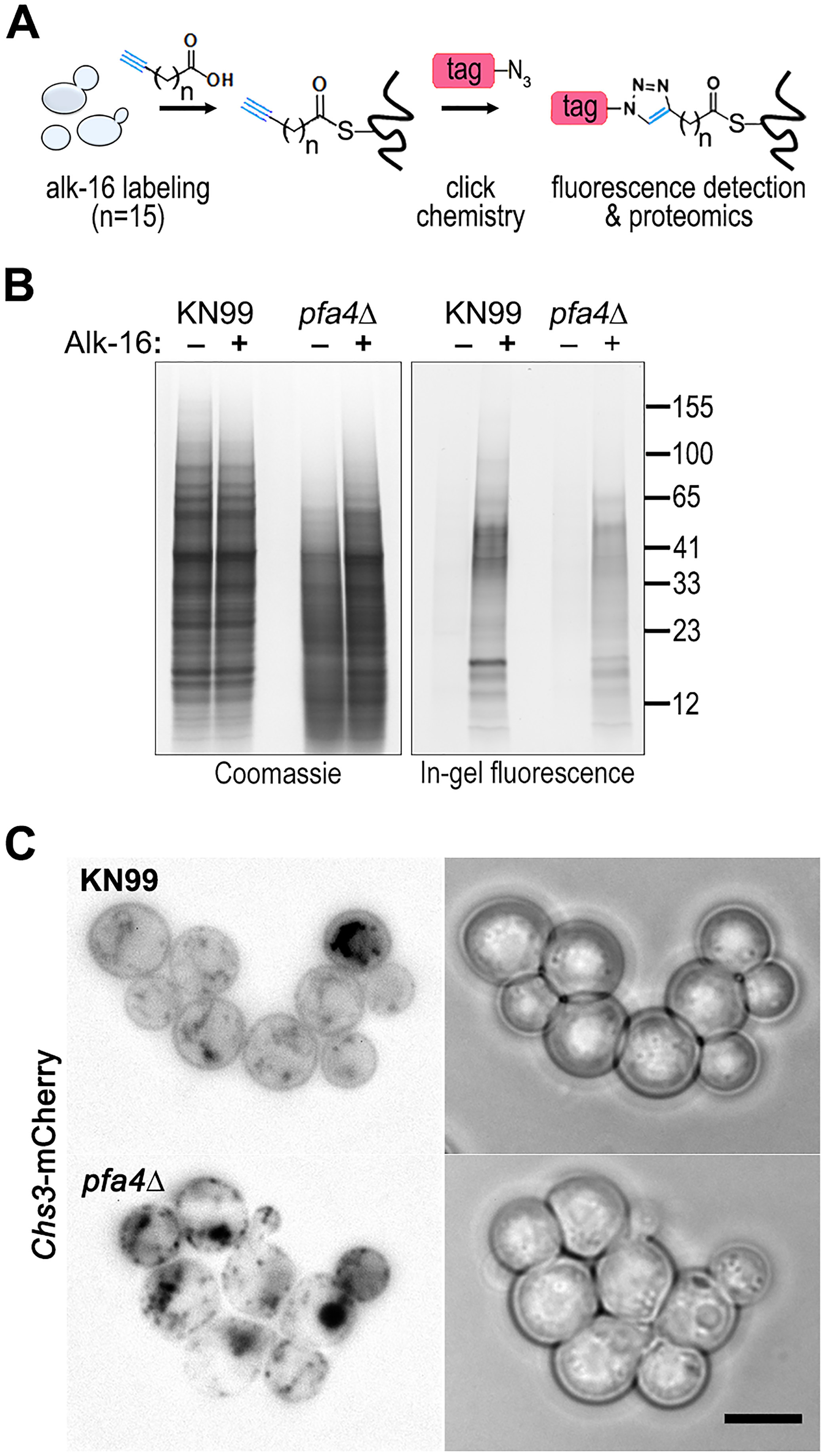 Identification of Pfa4-specific substrates and Pfa4-dependent Chs3 localization.