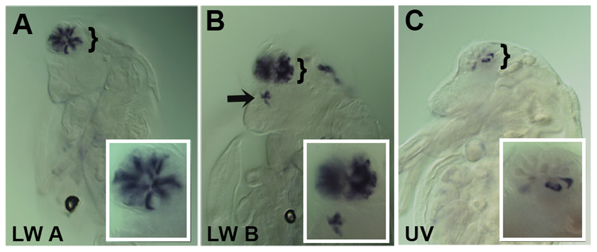 Spatial expression patterns of <i>Daphnia magna</i> r- opsins during <i>Daphnia</i> eye development.
