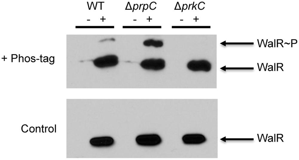 PrkC-dependent WalR phosphorylation is observed <i>in vivo</i>.