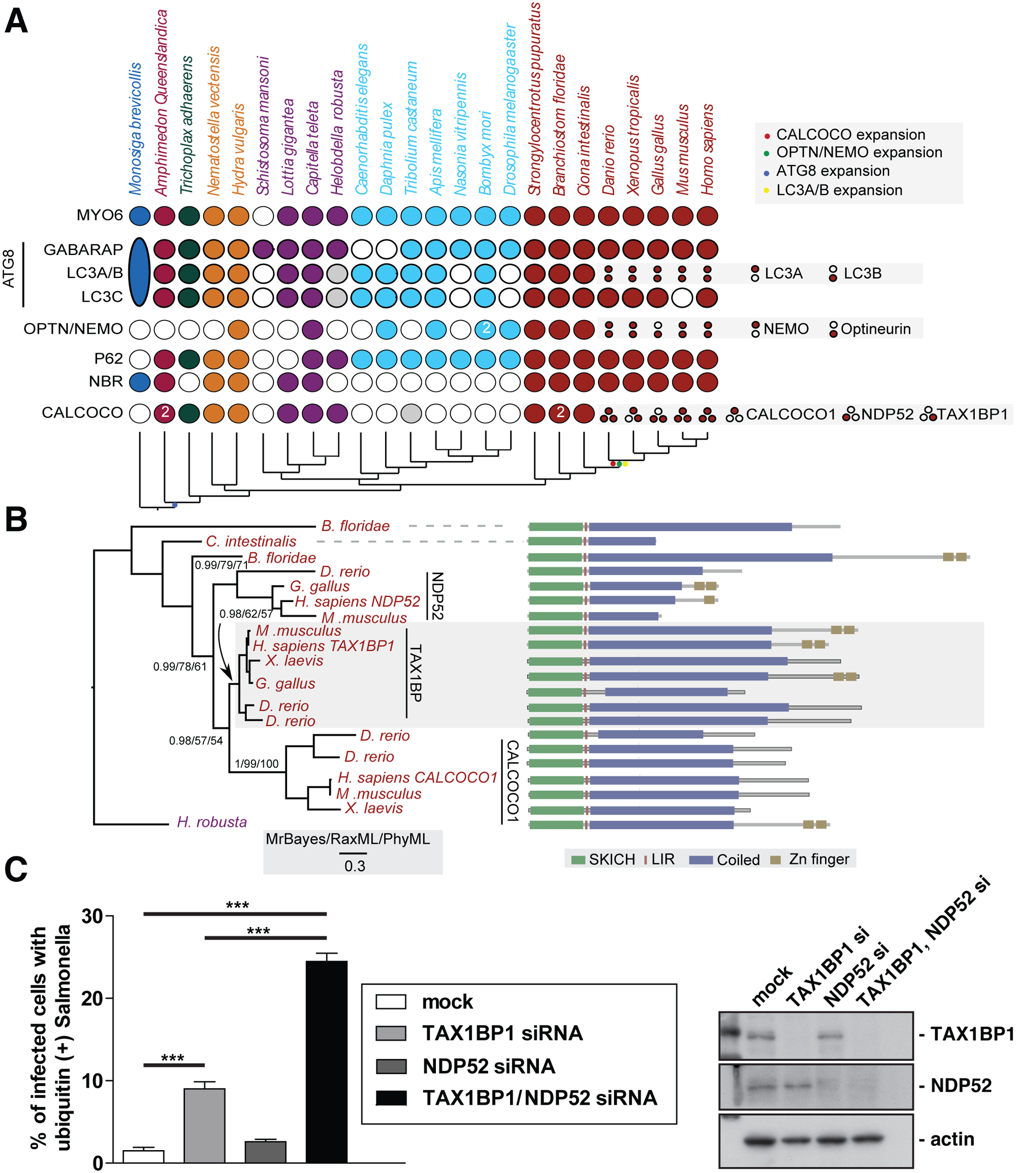 Evolutionary analysis of myosin VI associated adaptors and autophagy-related proteins.